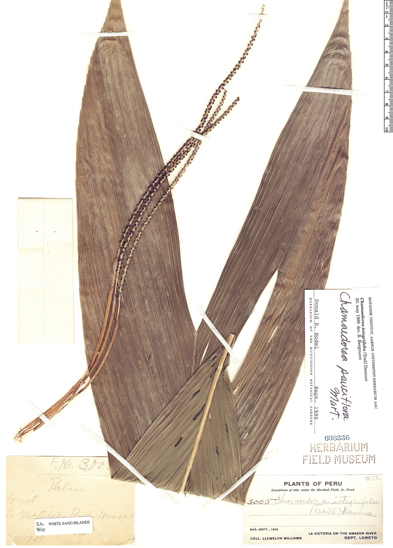 Specimen: Chamaedorea pauciflora