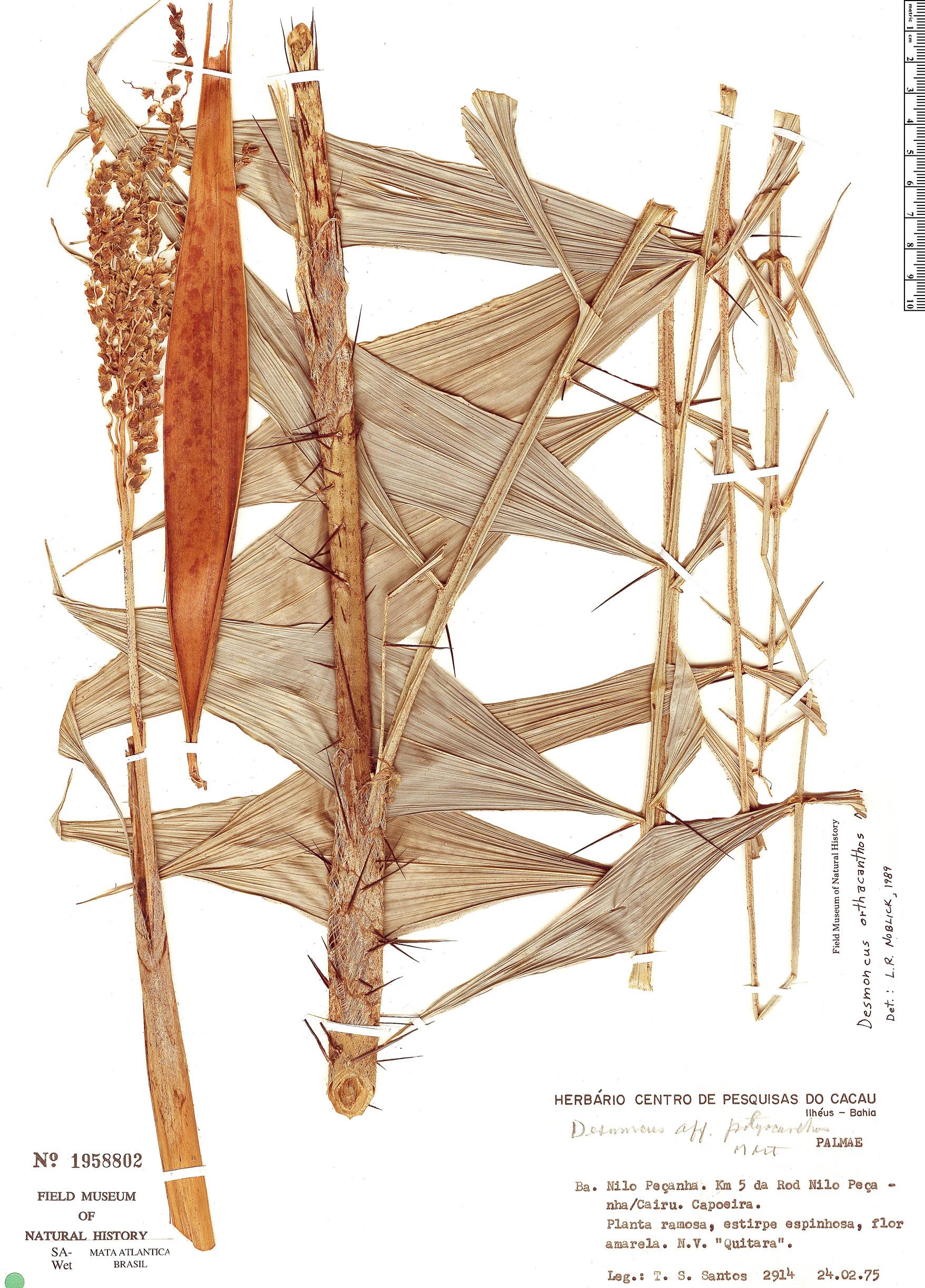 Espécime: Desmoncus orthacanthos