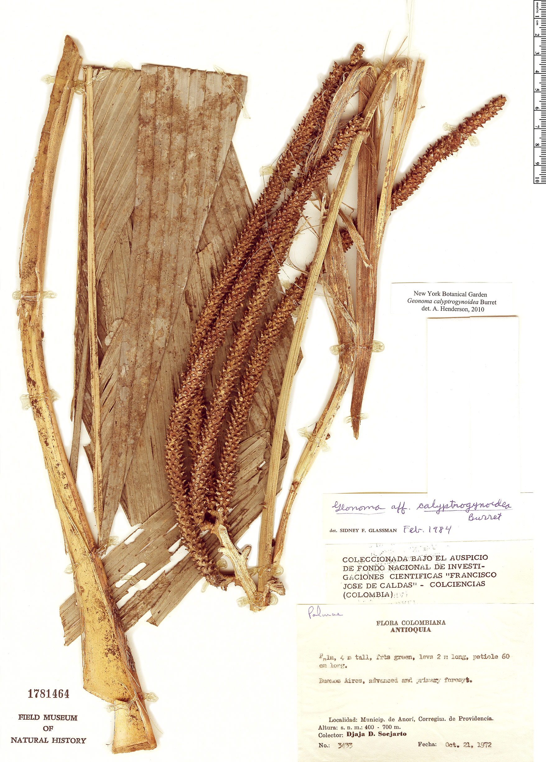 Specimen: Geonoma calyptrogynoidea