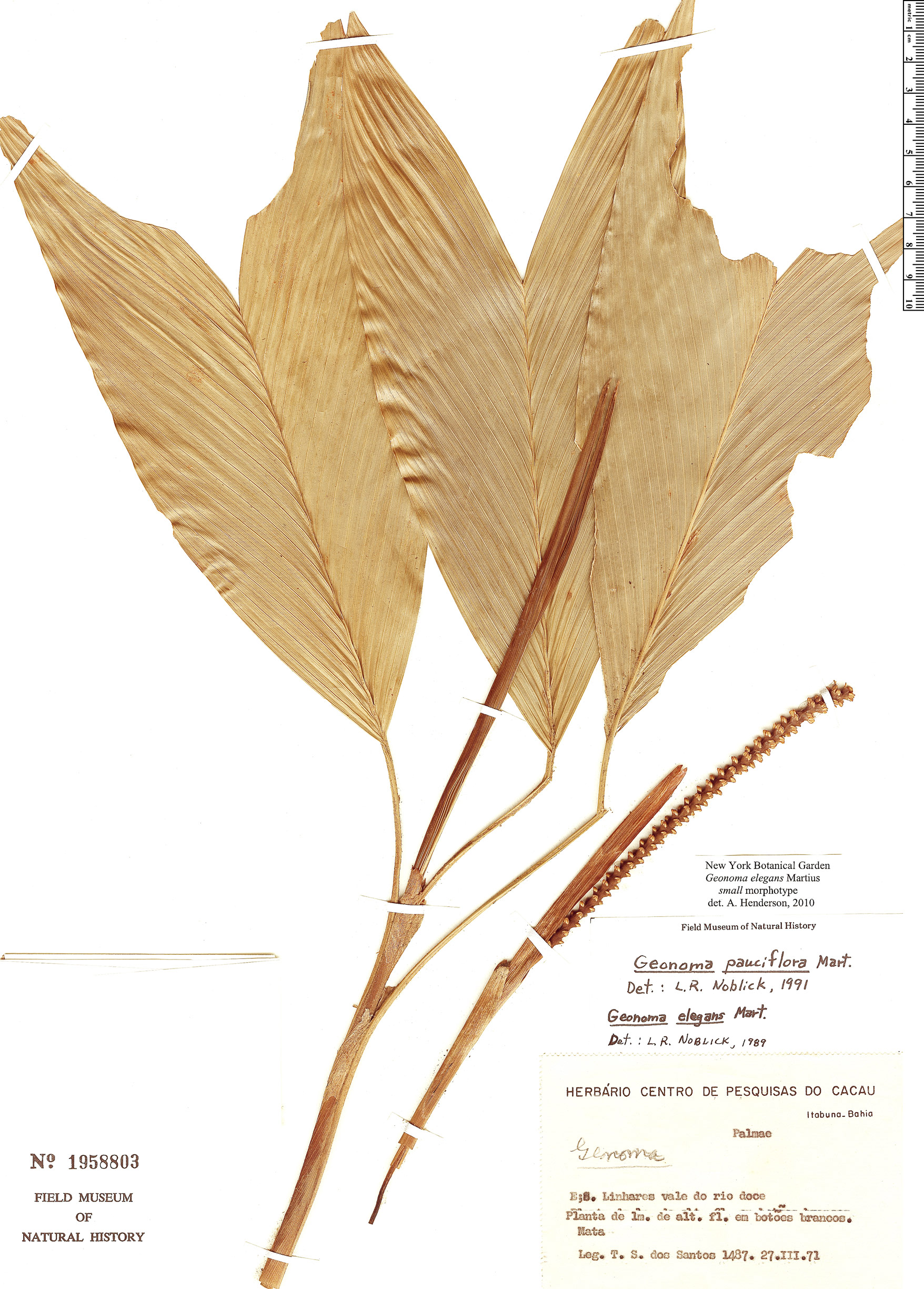 Espécime: Geonoma elegans