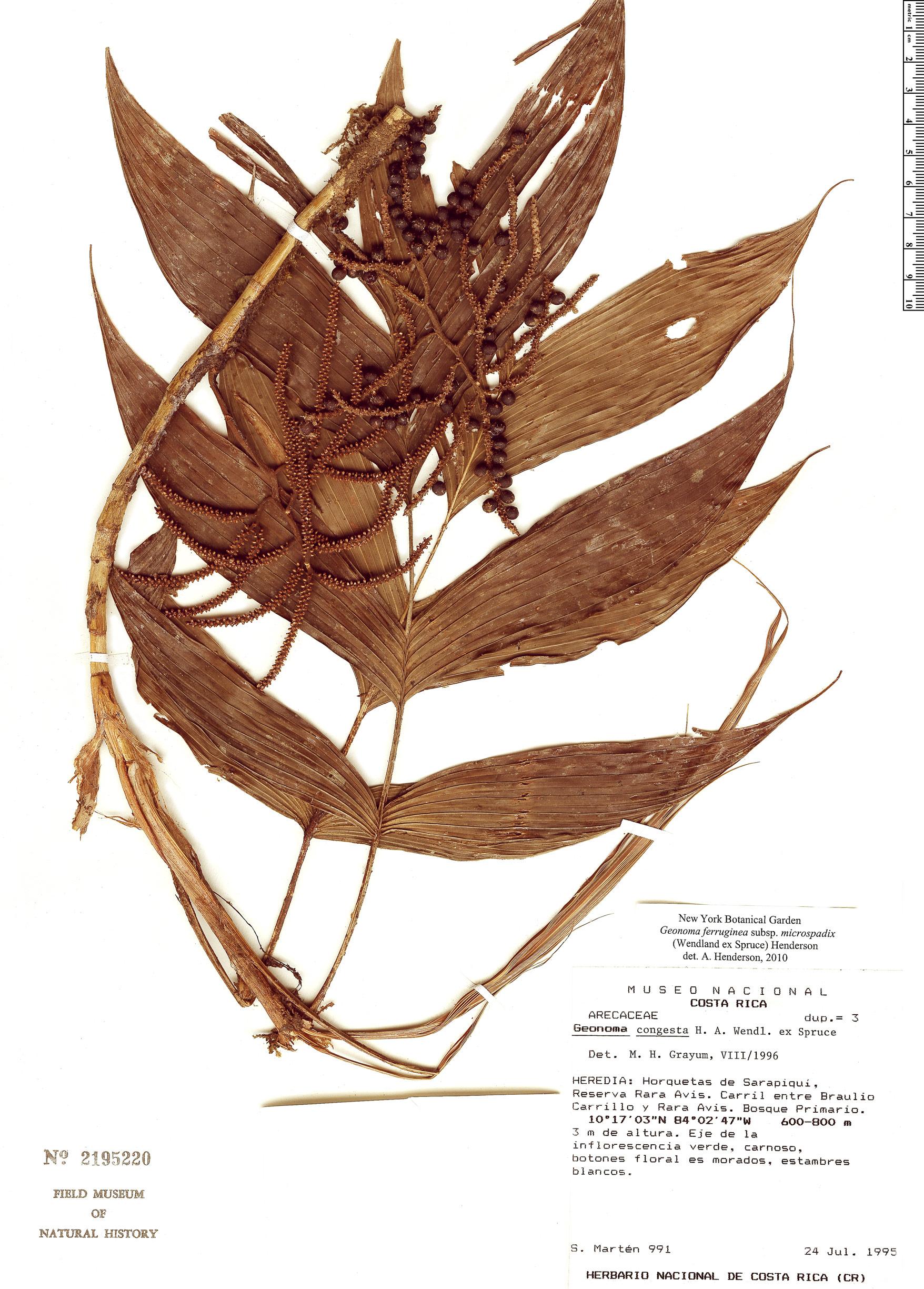 Specimen: Geonoma ferruginea
