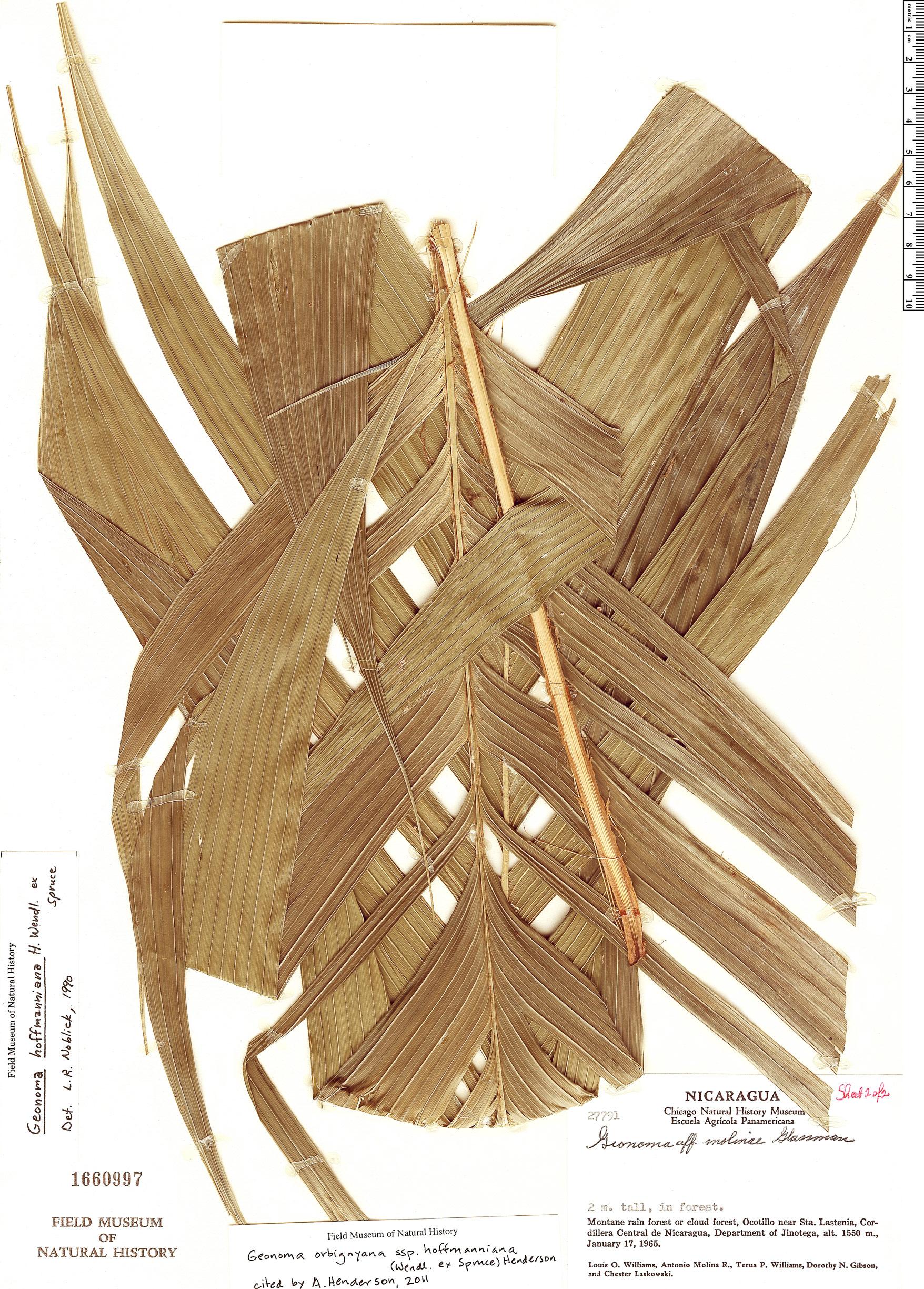 Espécime: Geonoma orbignyana