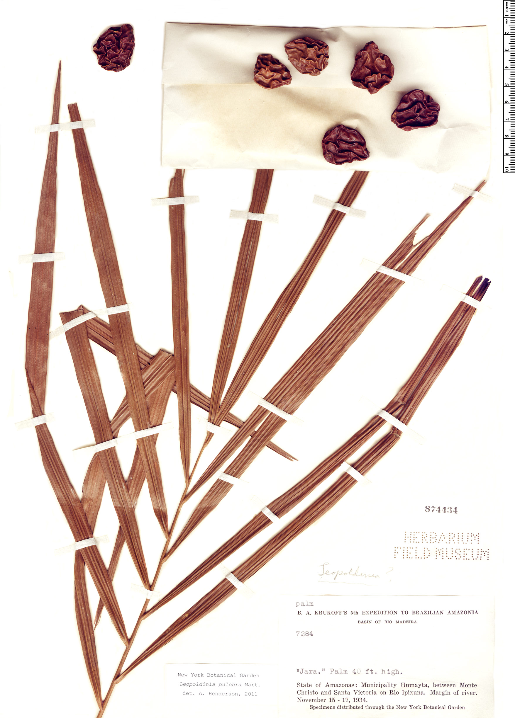 Specimen: Leopoldinia pulchra
