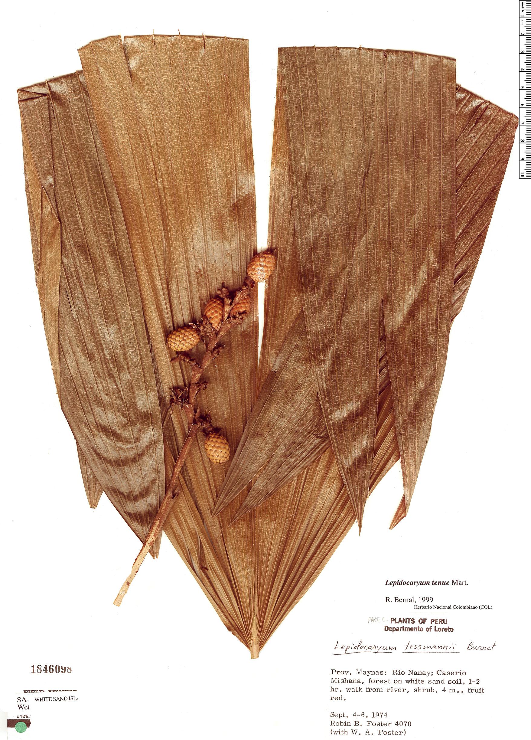 Specimen: Lepidocaryum tenue