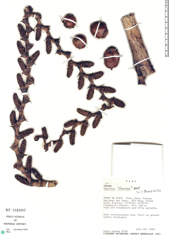Specimen: Mauritia flexuosa