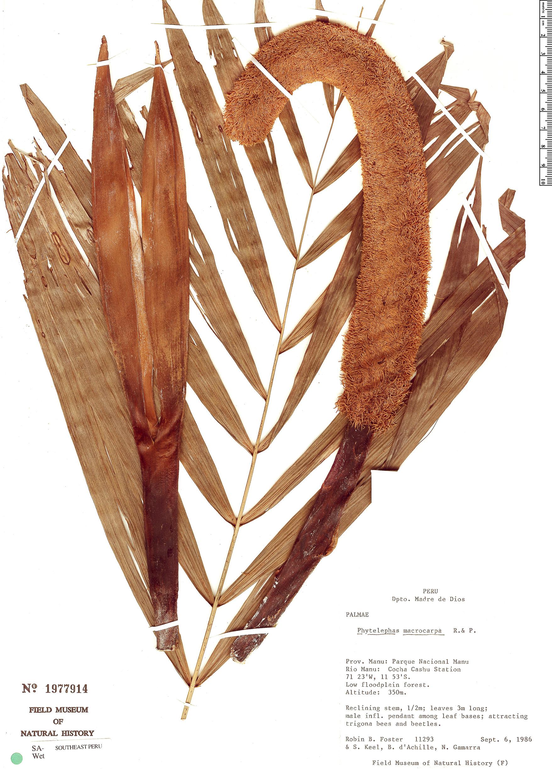 Specimen: Phytelephas macrocarpa