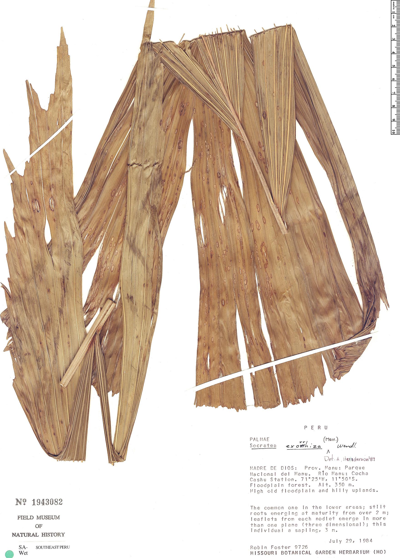 Specimen: Socratea exorrhiza