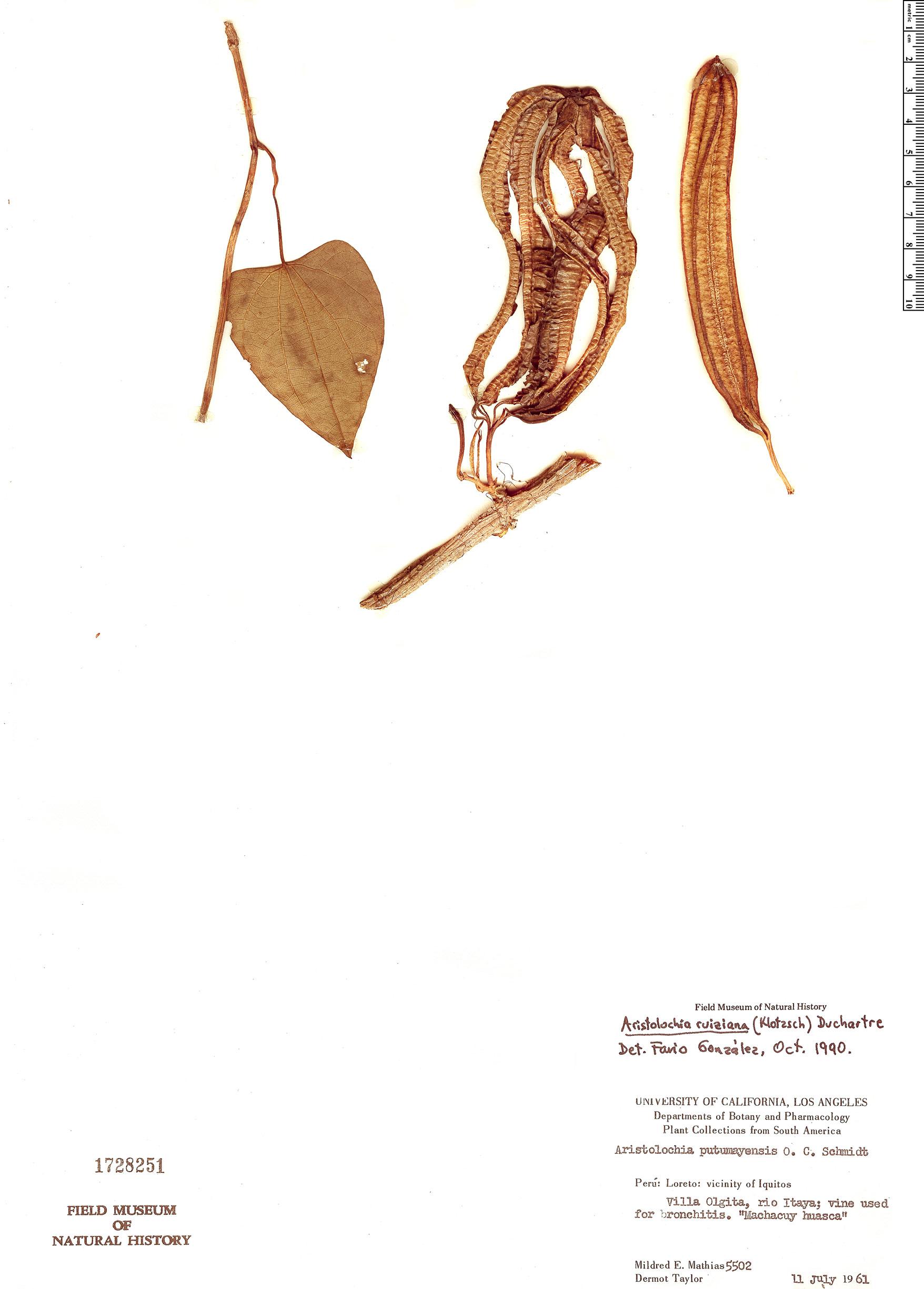 Specimen: Aristolochia ruiziana