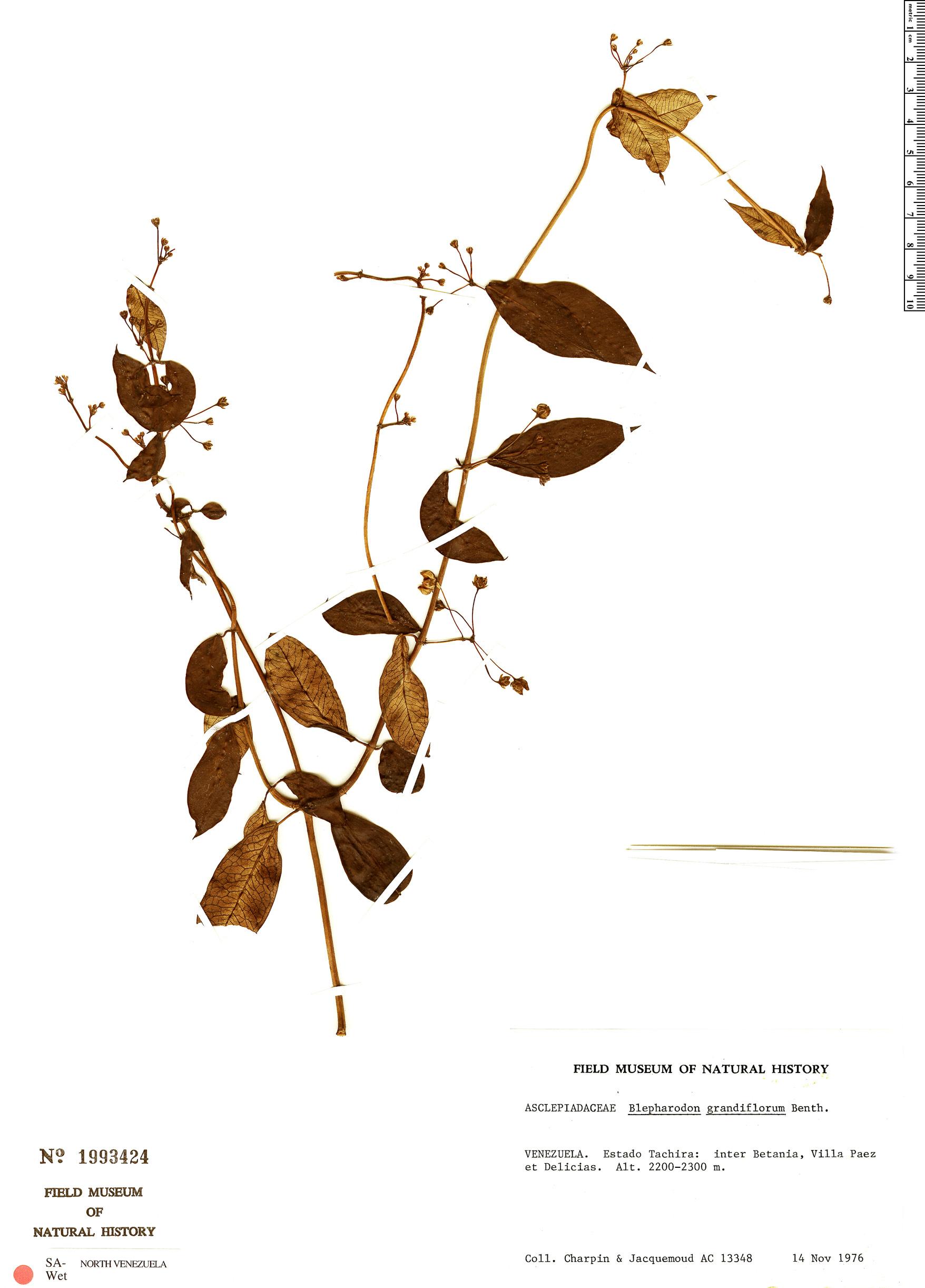Specimen: Blepharodon grandiflorum
