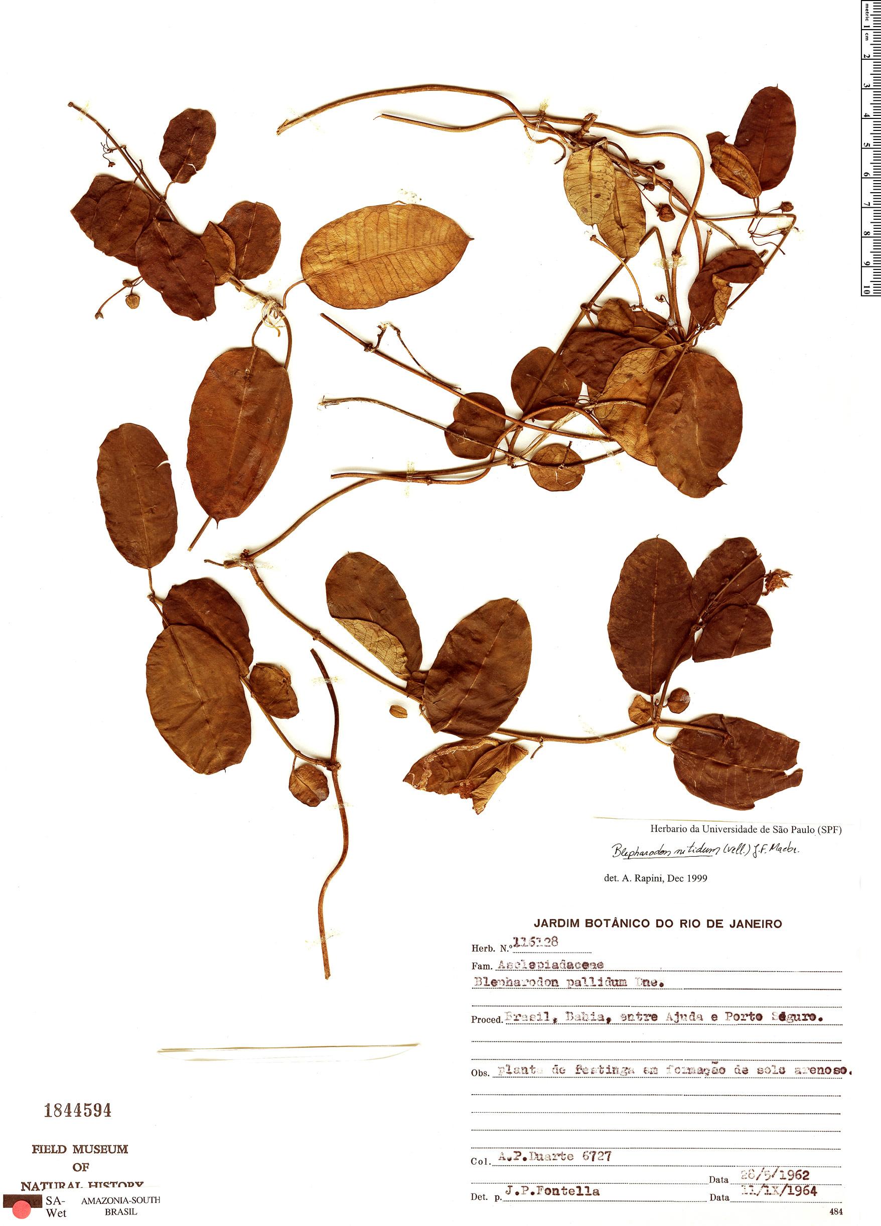 Specimen: Blepharodon pictum