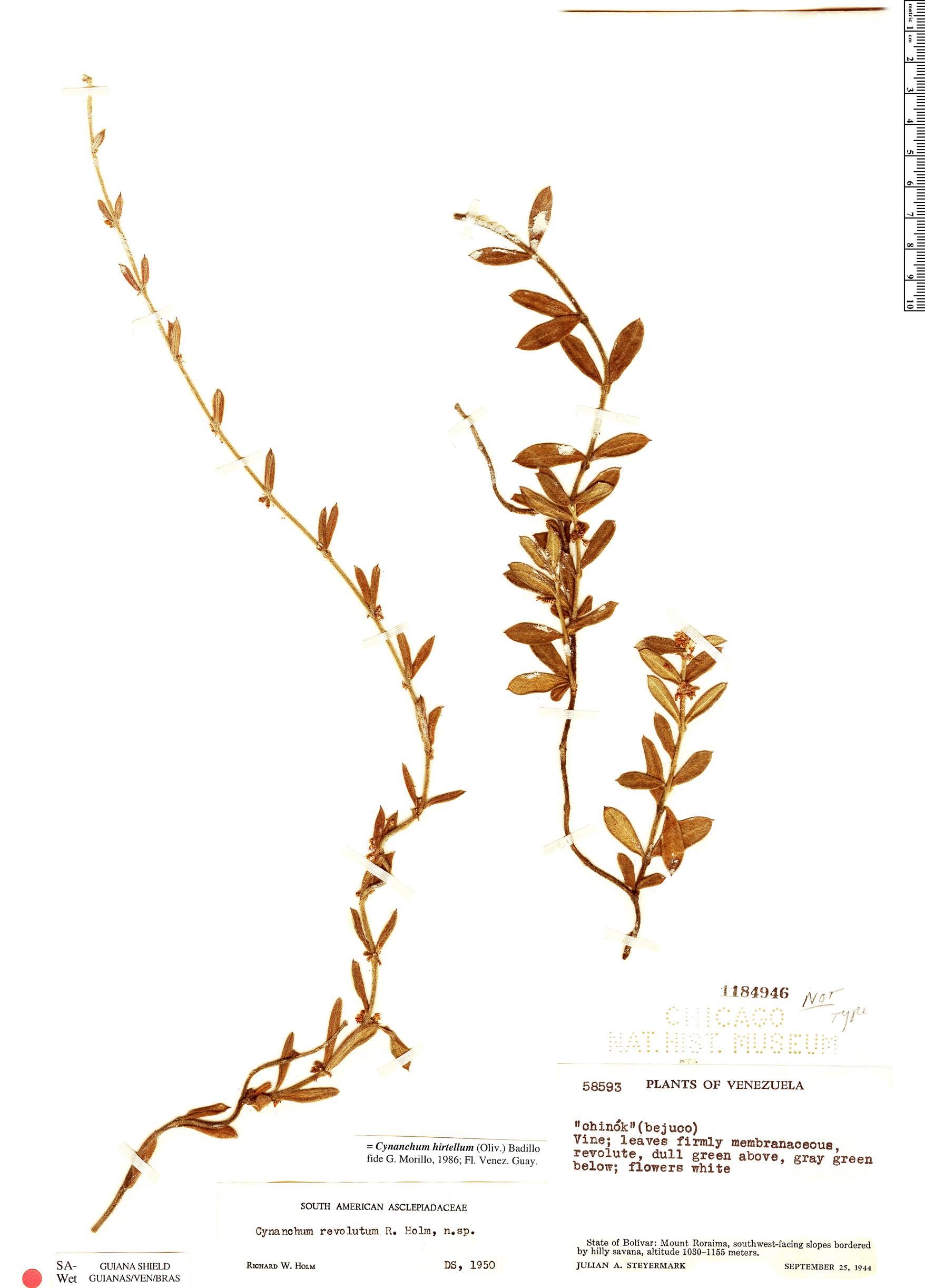 Specimen: Cynanchum hirtellum