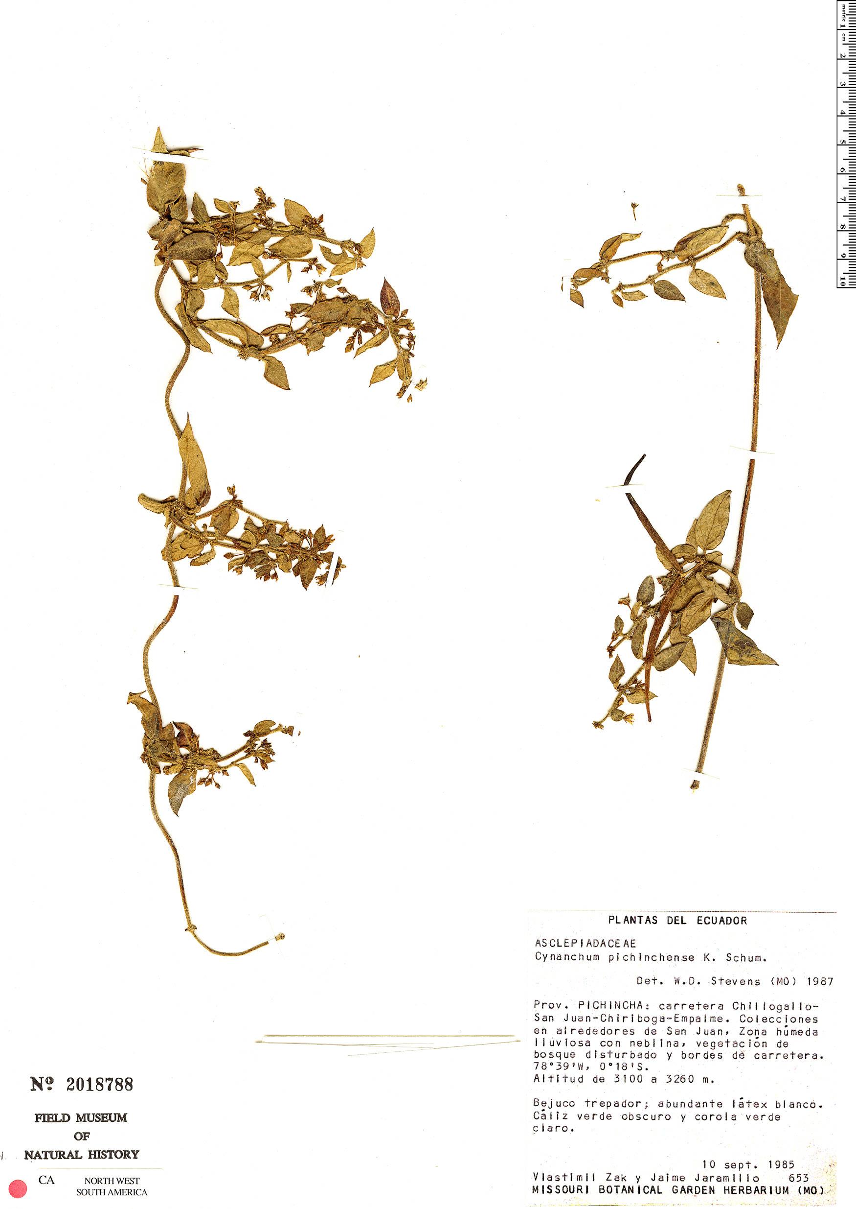 Specimen: Cynanchum jaramilloi