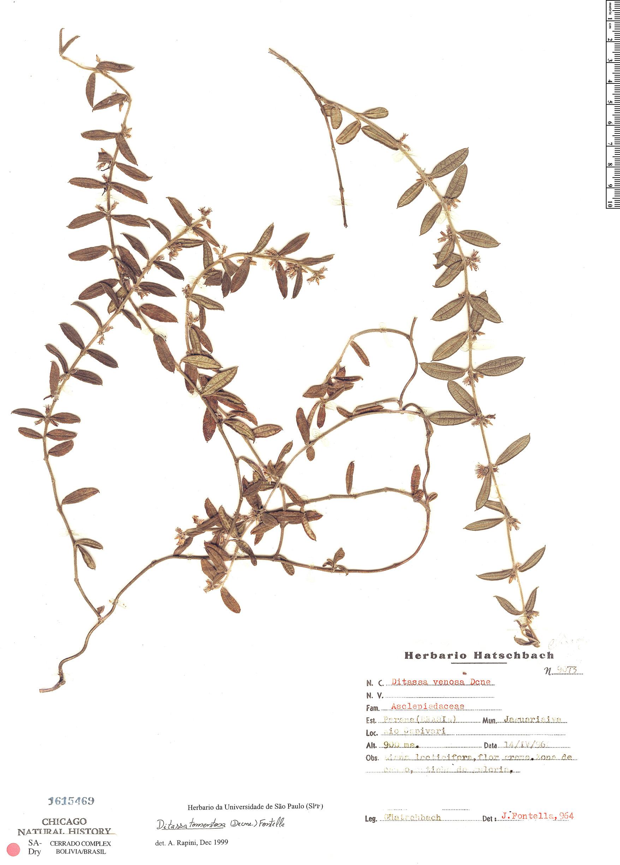 Espécimen: Ditassa tomentosa