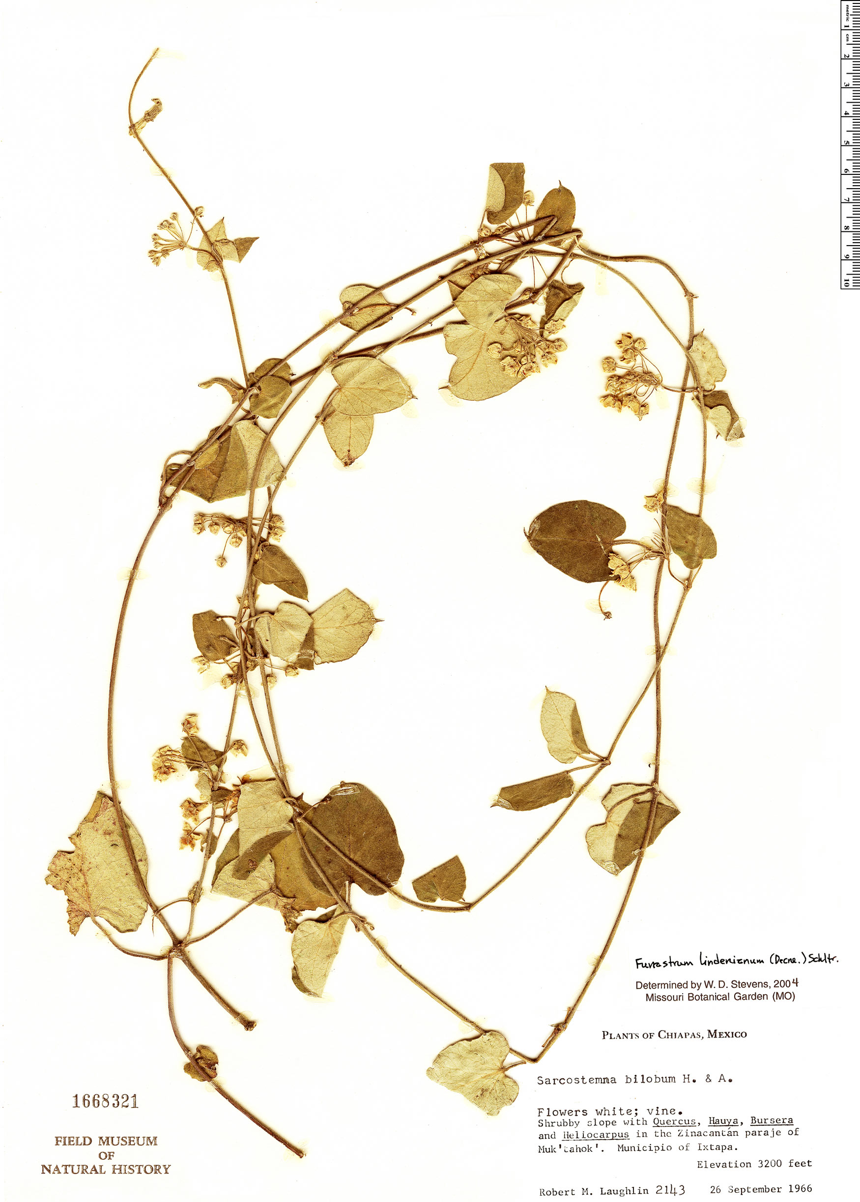Specimen: Funastrum lindenianum