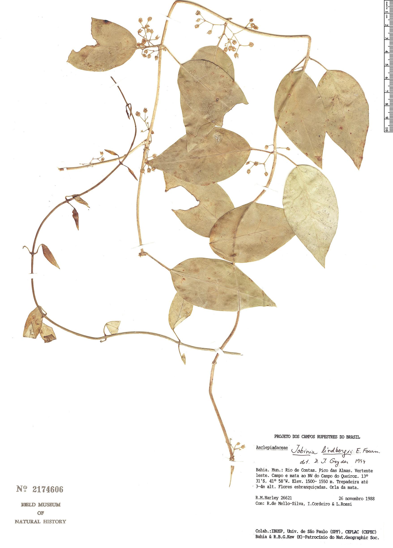 Specimen: Jobinia lindbergii