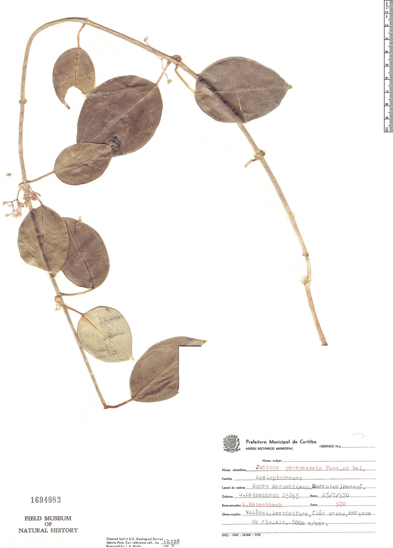Specimen: Jobinia paranaensis
