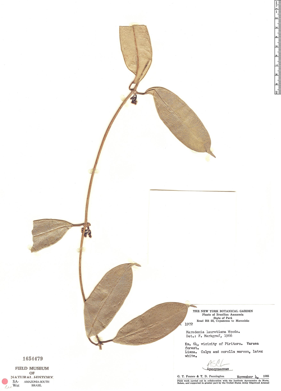 Specimen: Marsdenia lauretiana