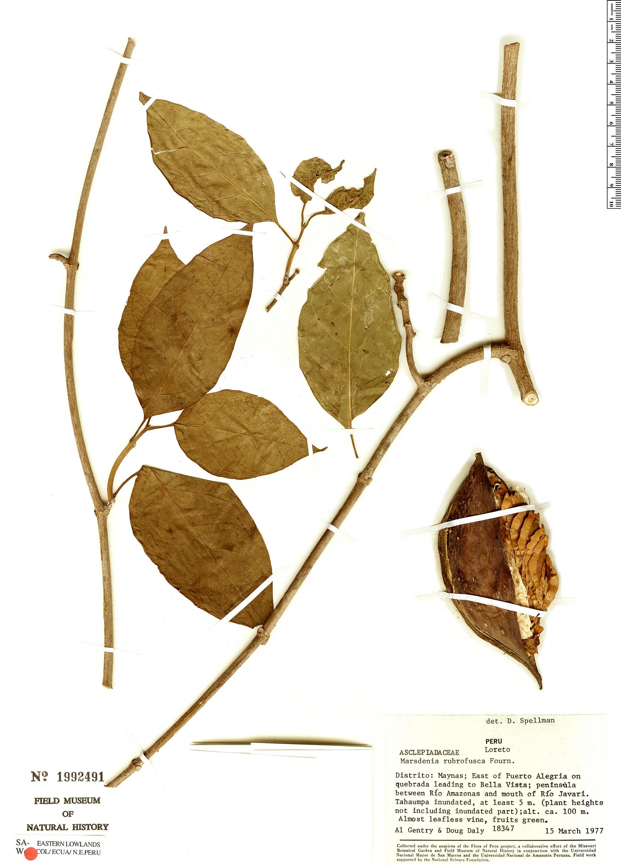 Specimen: Marsdenia rubrofusca