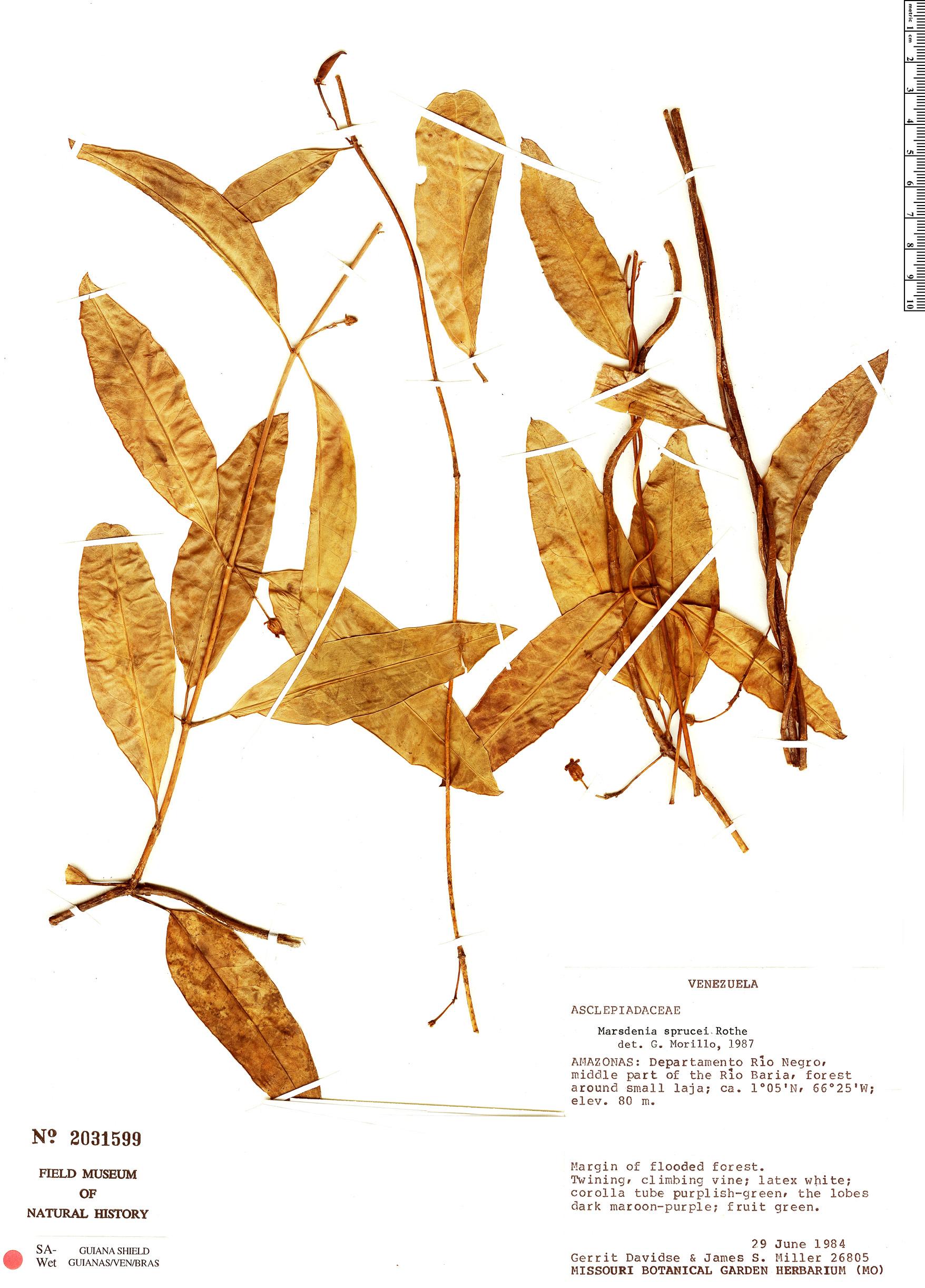 Specimen: Marsdenia sprucei