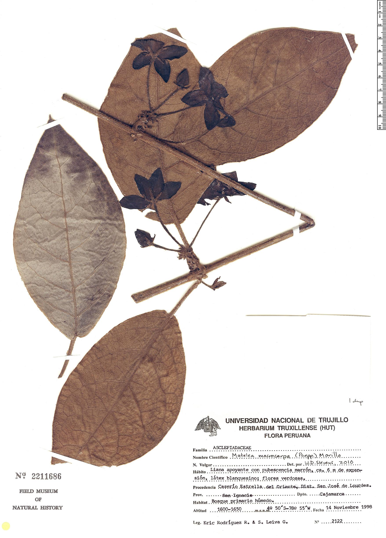 Specimen: Matelea macrocarpa
