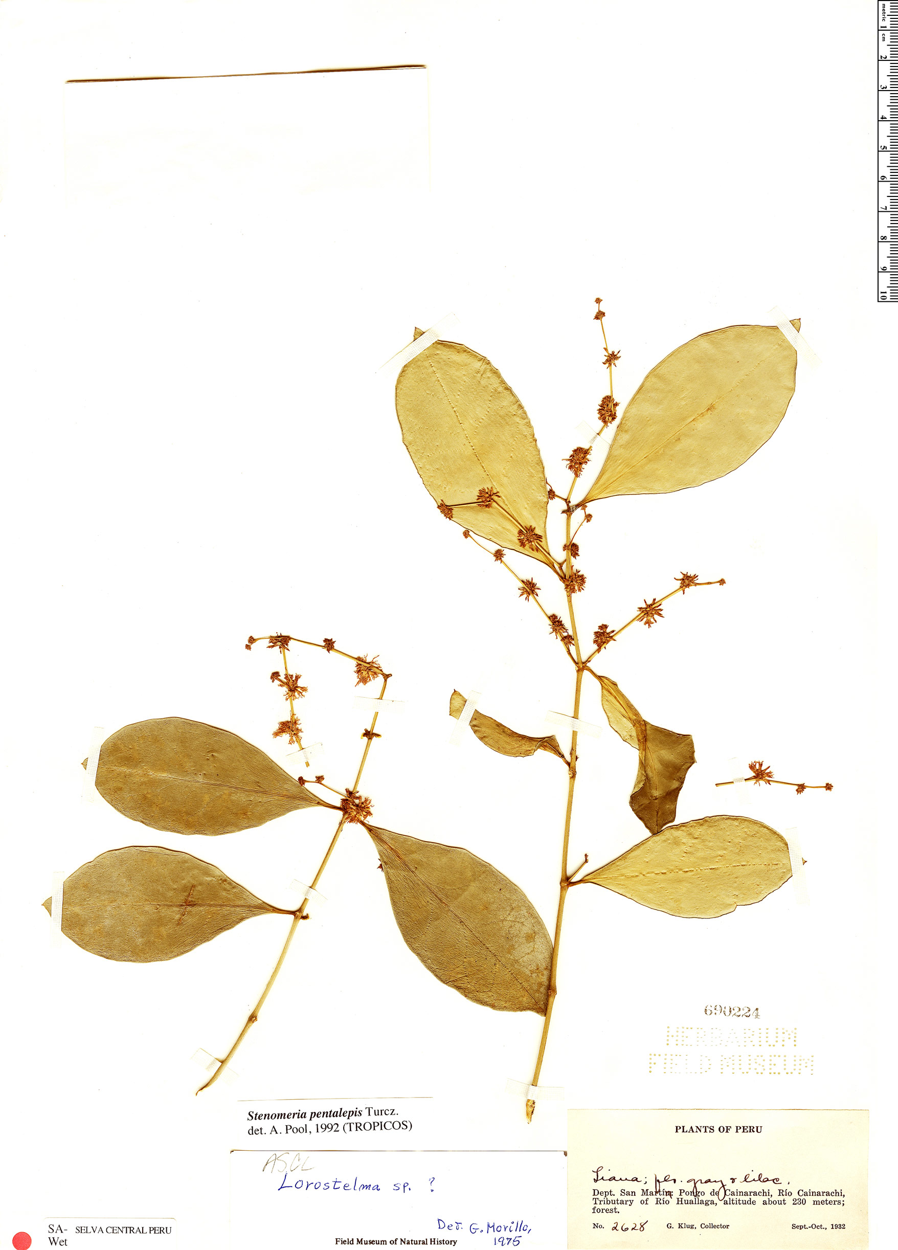 Specimen: Stenomeria pentalepis