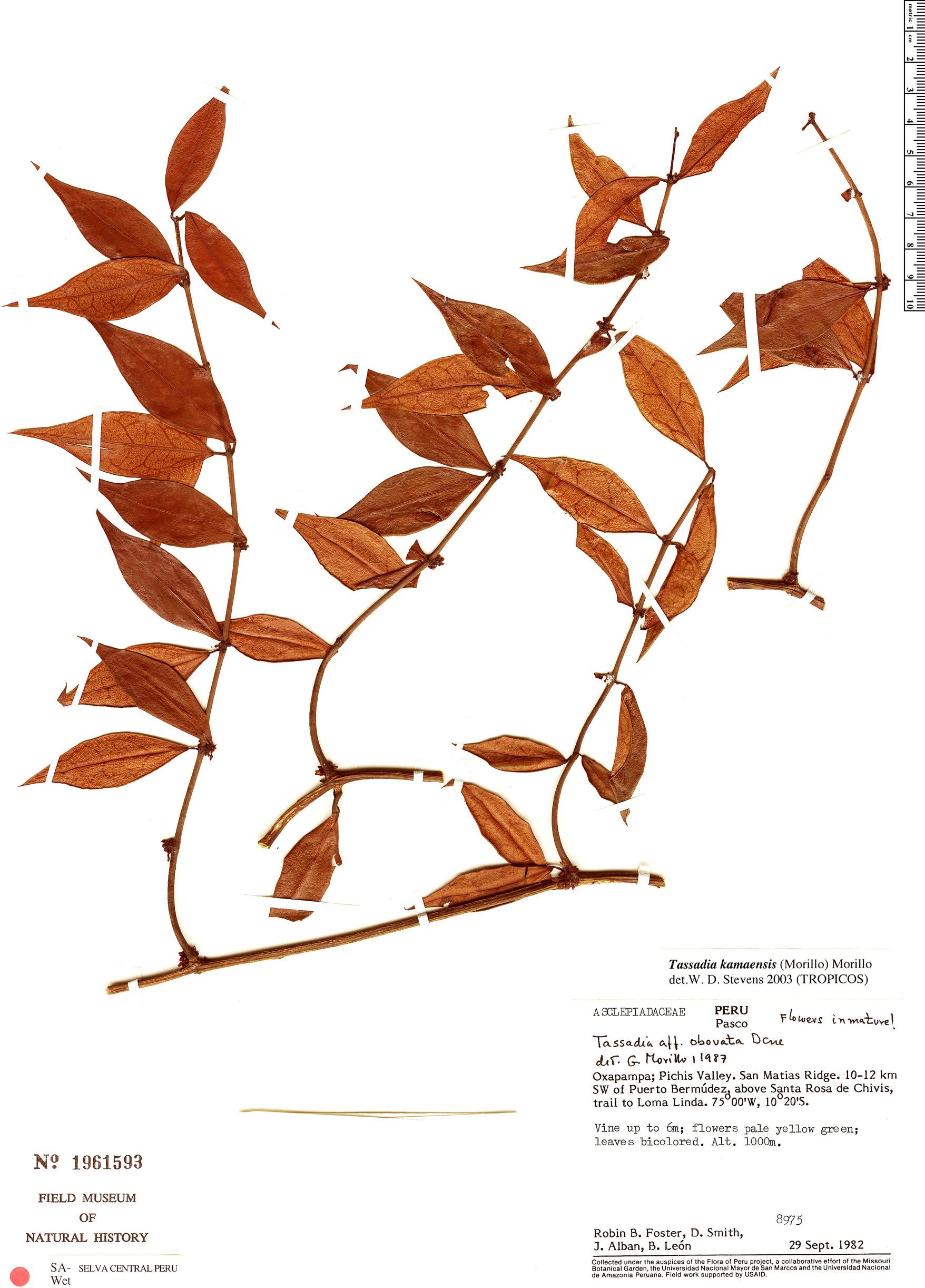 Specimen: Tassadia kamaensis