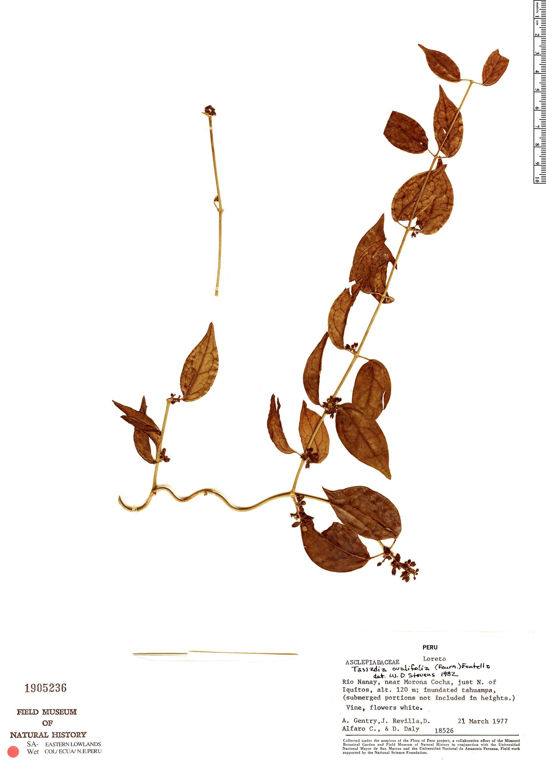 Specimen: Tassadia ovalifolia