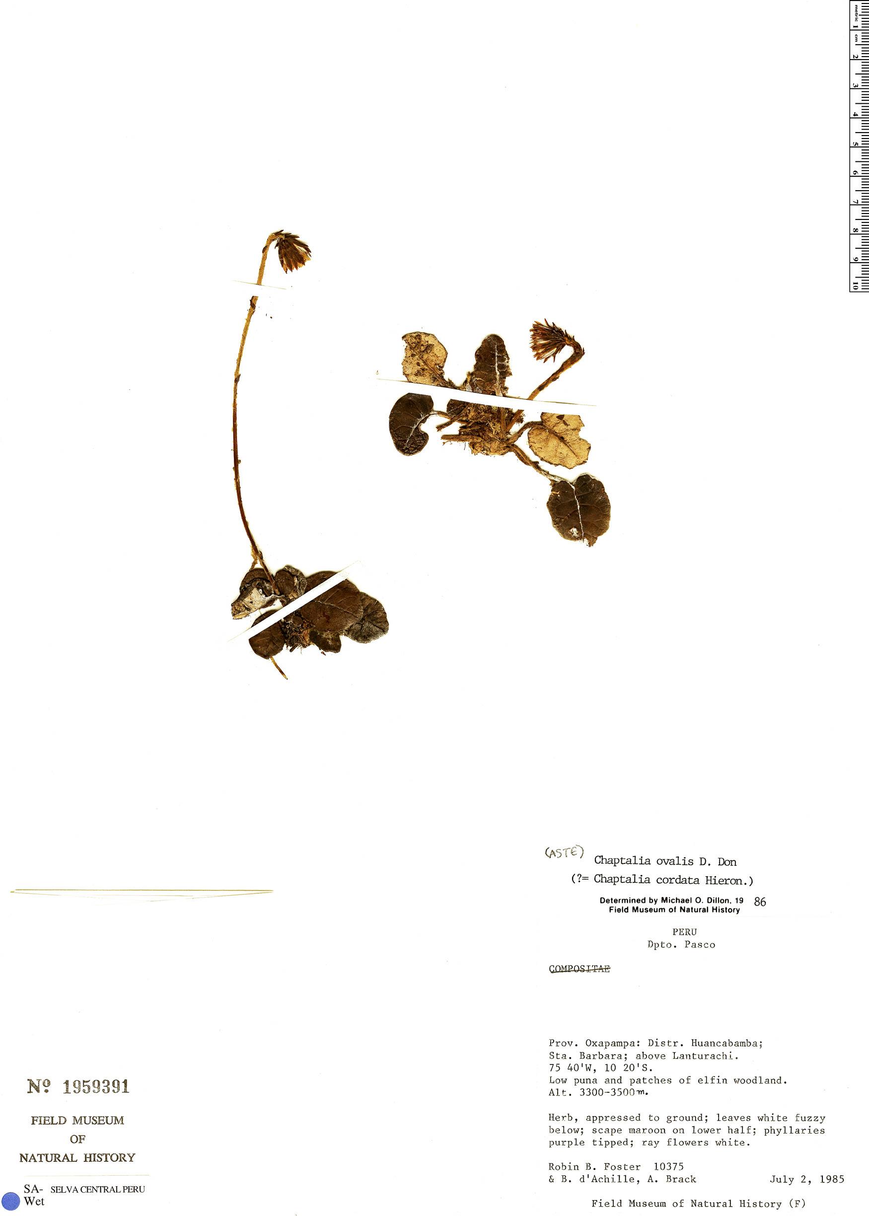 Specimen: Chaptalia ovalis