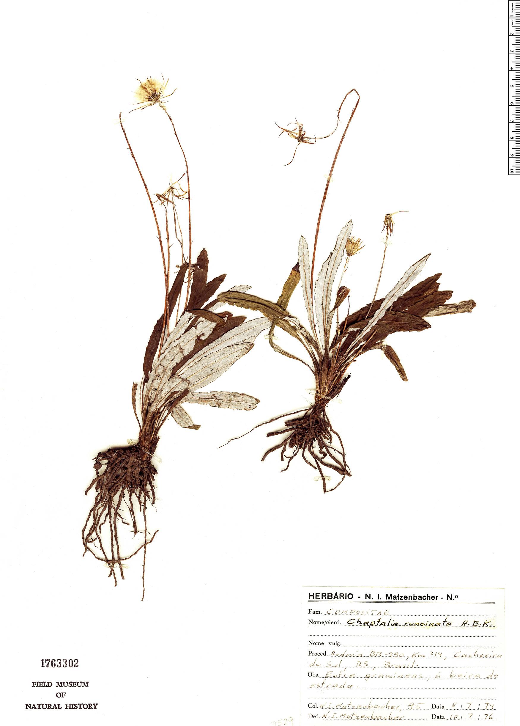 Specimen: Chaptalia runcinata