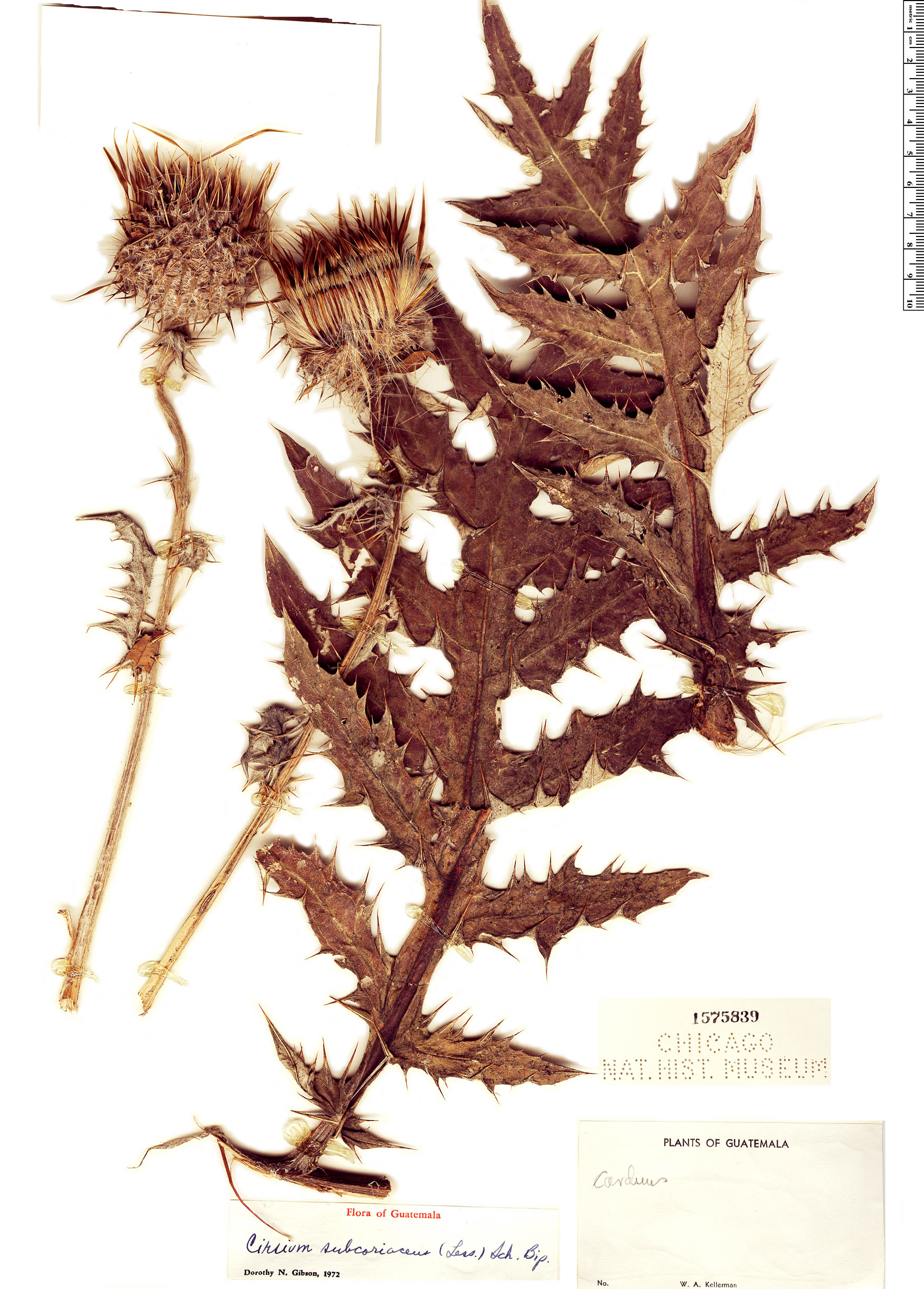 Specimen: Cirsium subcoriaceum