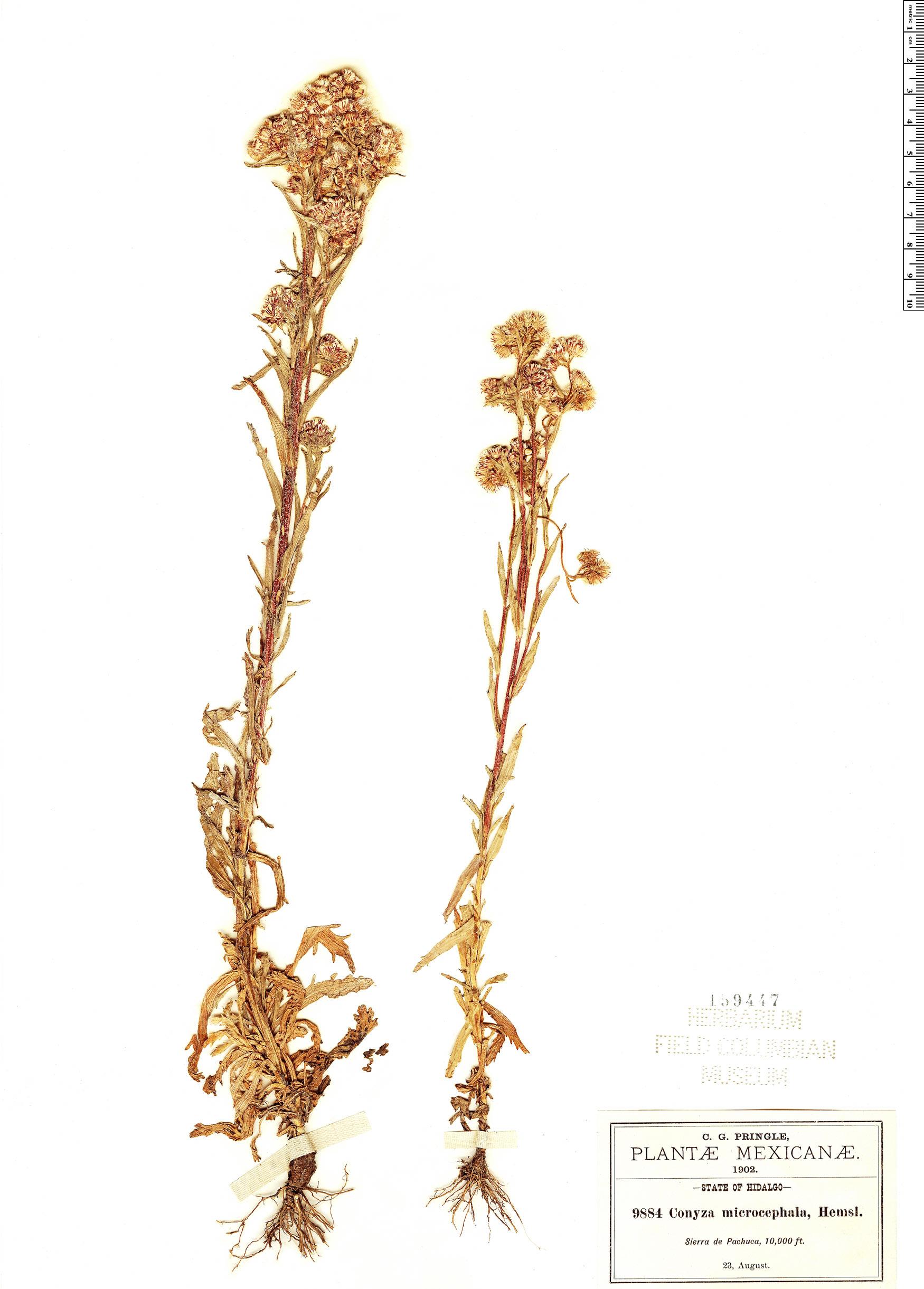 Specimen: Conyza microcephala
