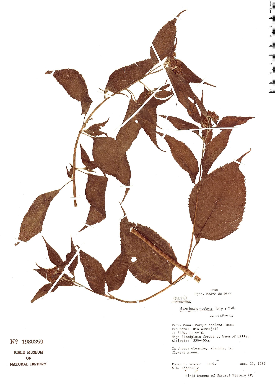 Specimen: Garcilassa rivularis
