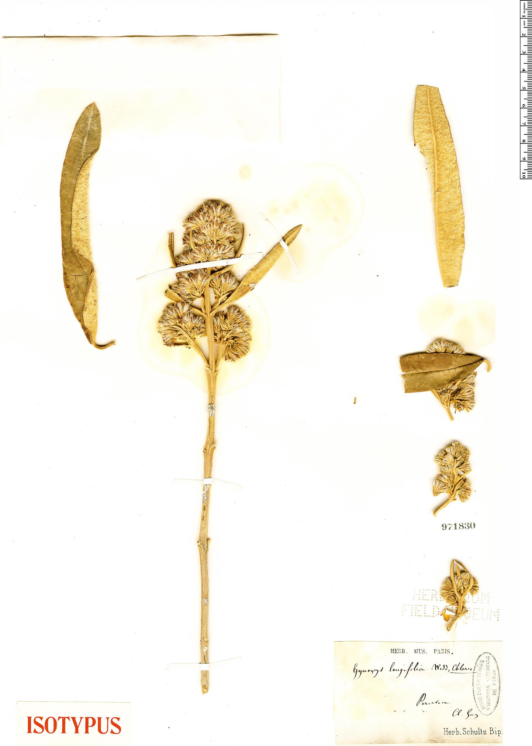 Specimen: Gynoxys longifolia