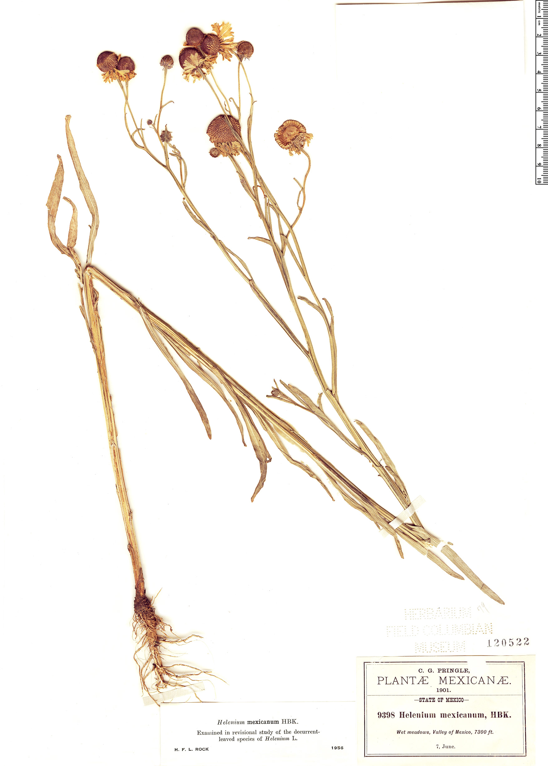 Specimen: Helenium mexicanum