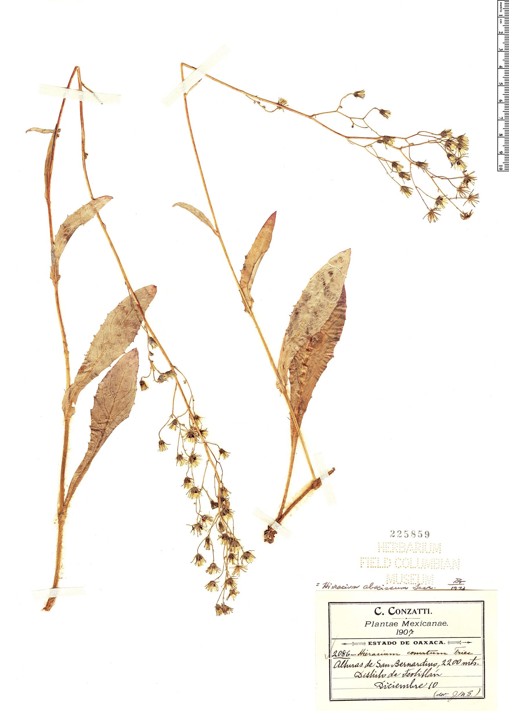 Espécimen: Hieracium abscissum