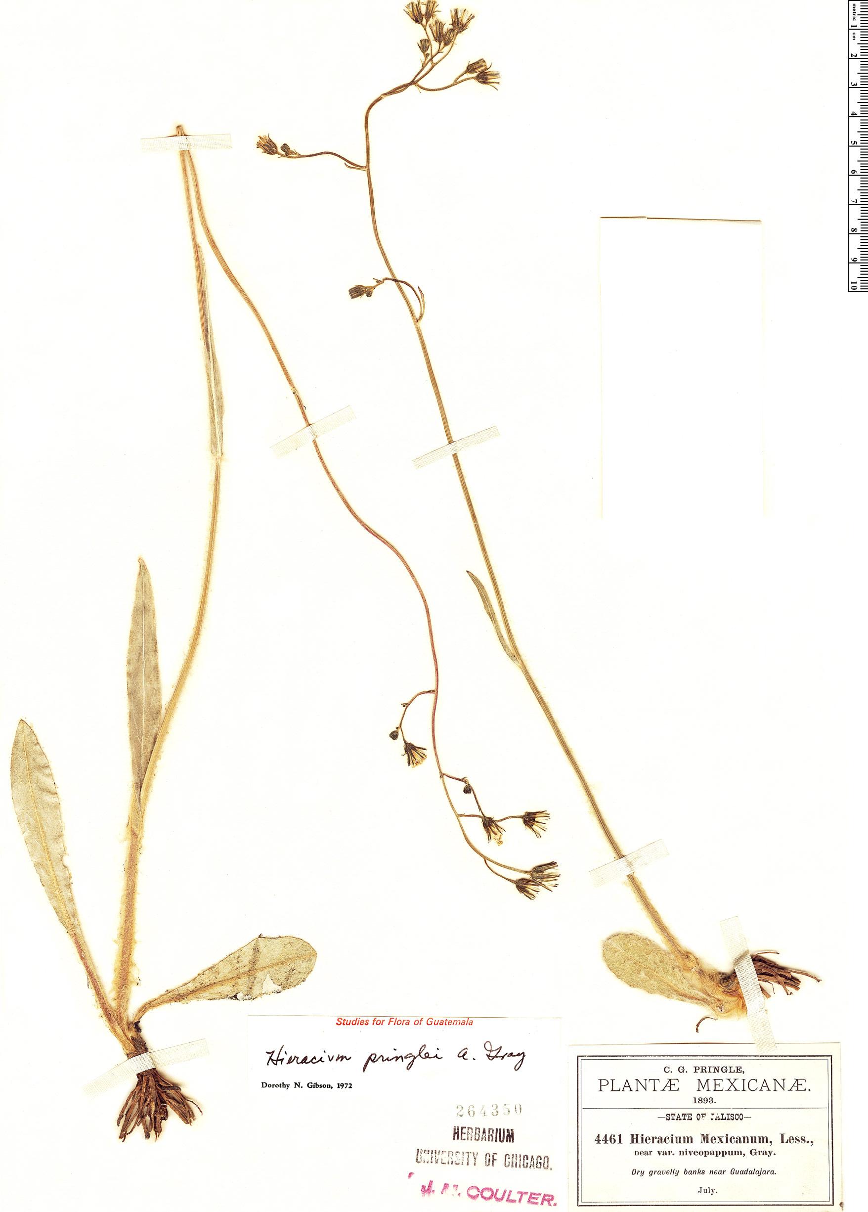 Specimen: Hieracium pringlei