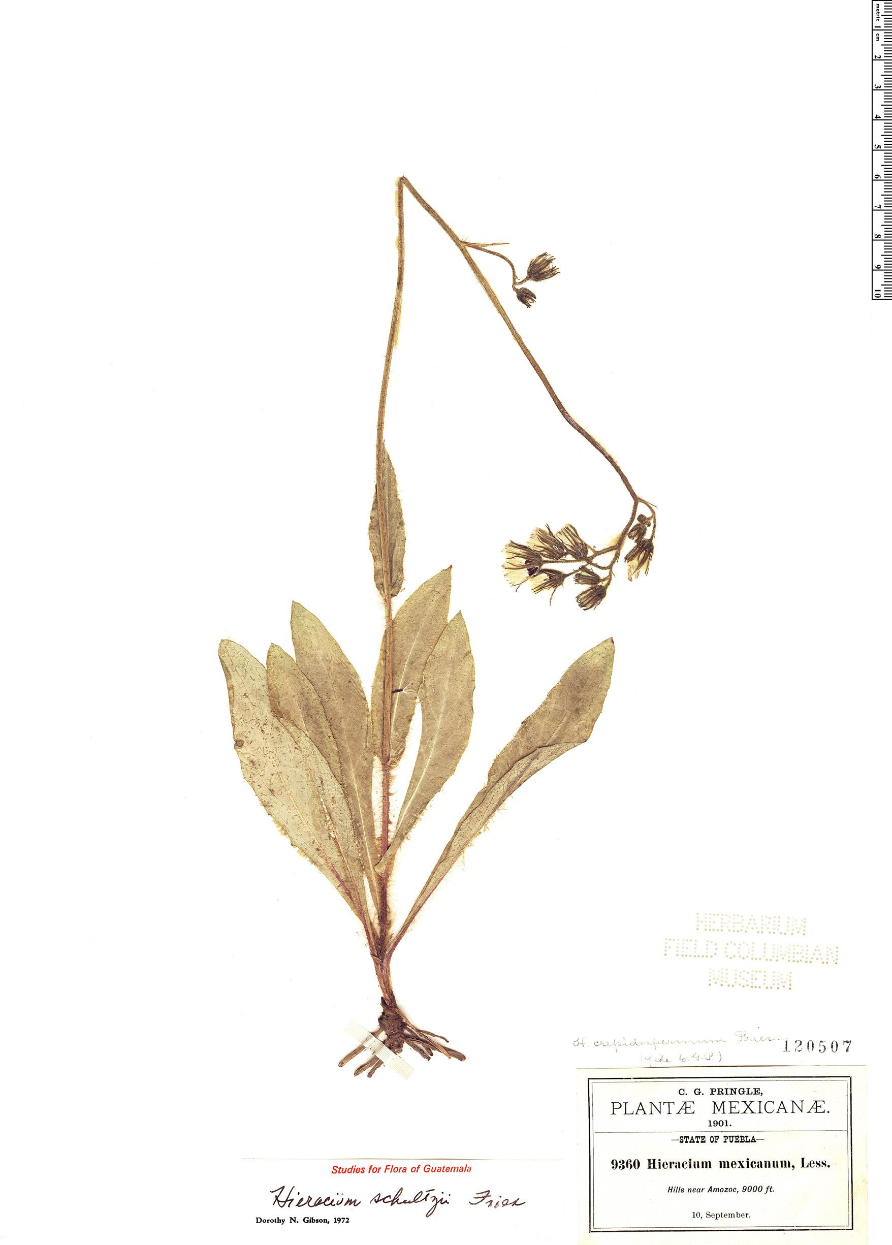 Espécimen: Hieracium schultzii