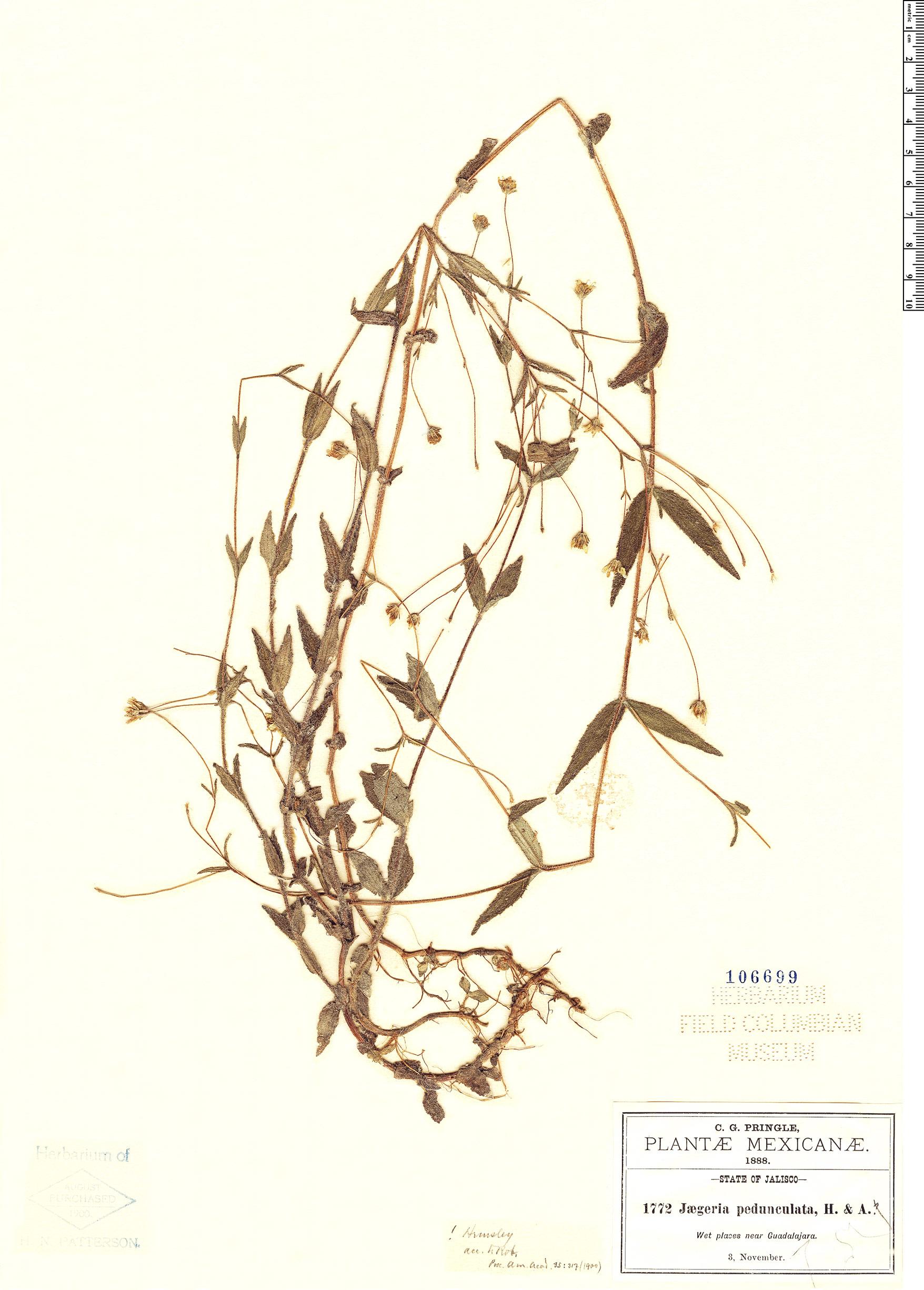 Specimen: Jaegeria pedunculata