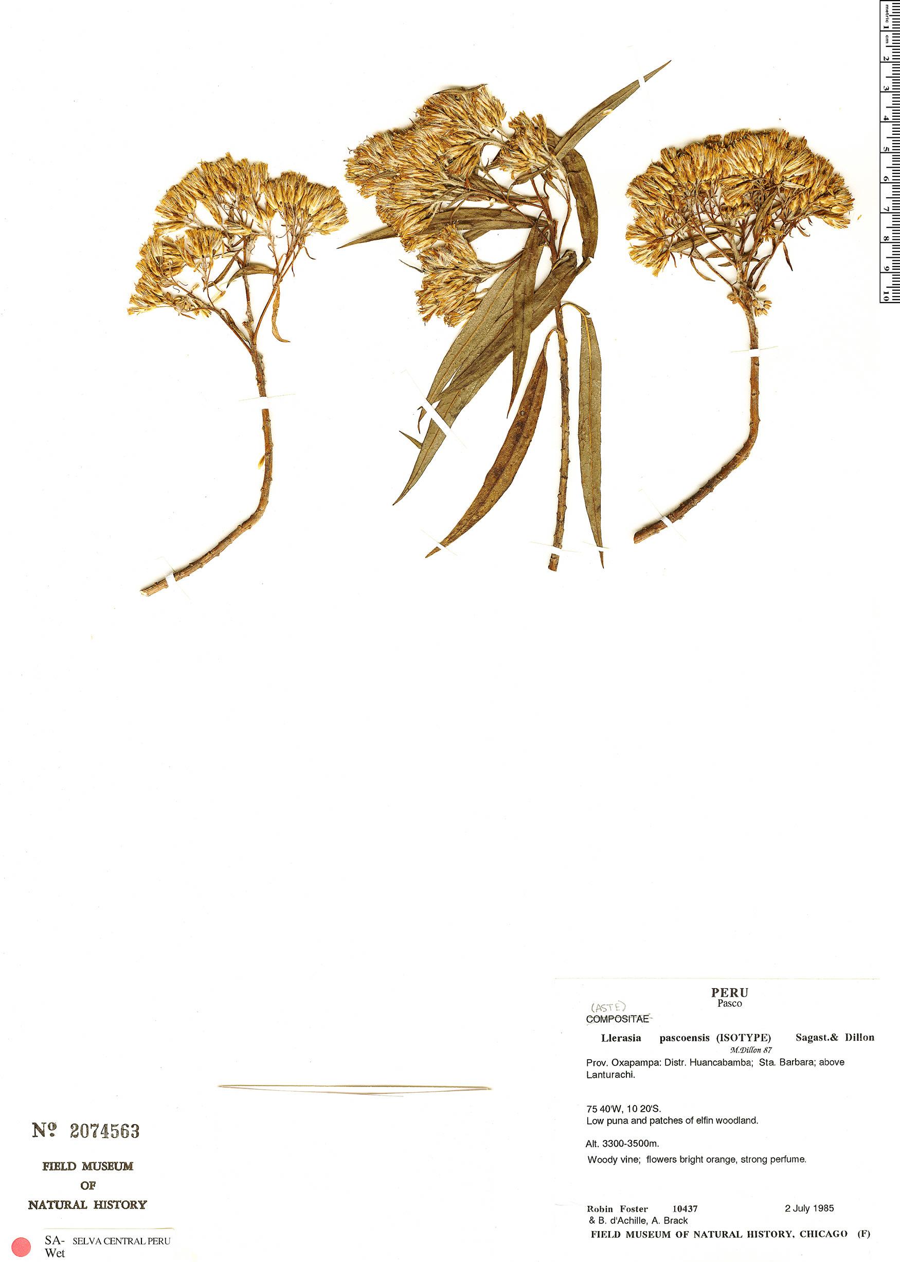 Specimen: Llerasia pascoensis