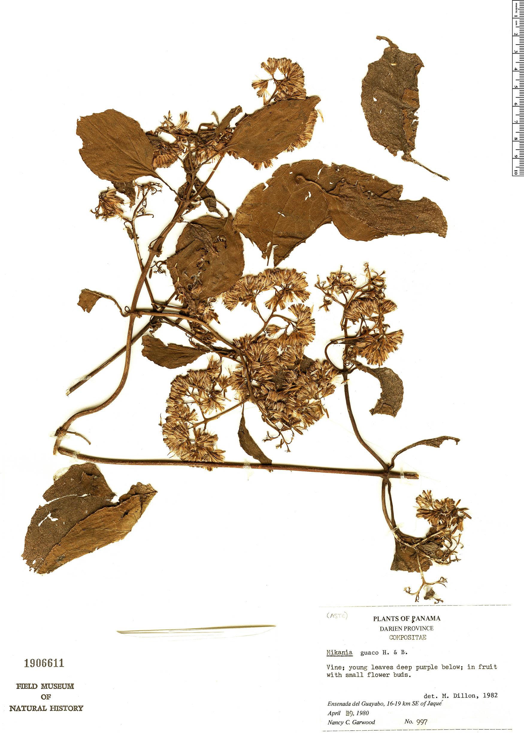 Specimen: Mikania guaco