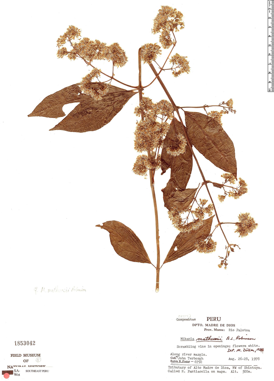 Specimen: Mikania mathewsii