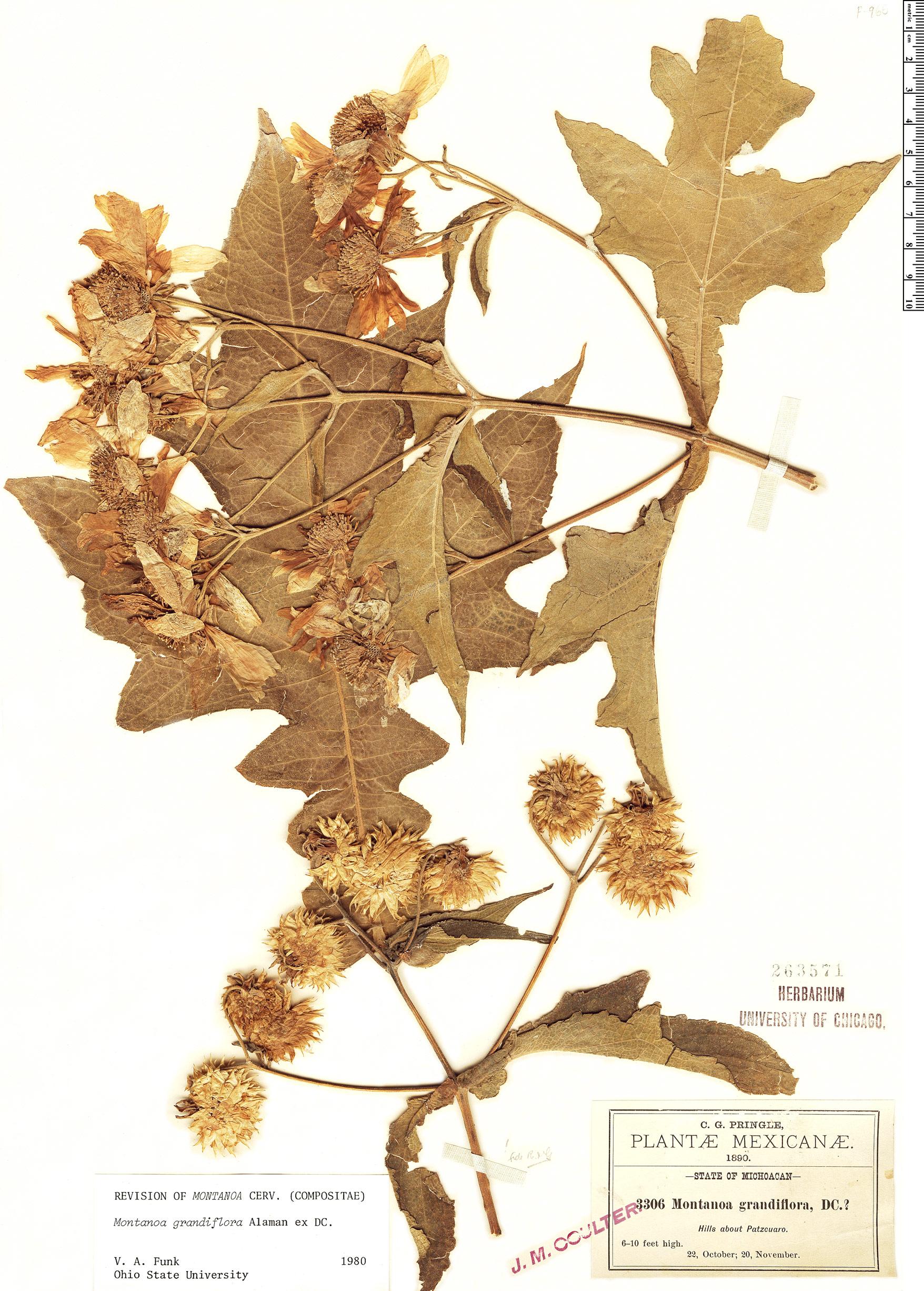 Espécimen: Montanoa grandiflora
