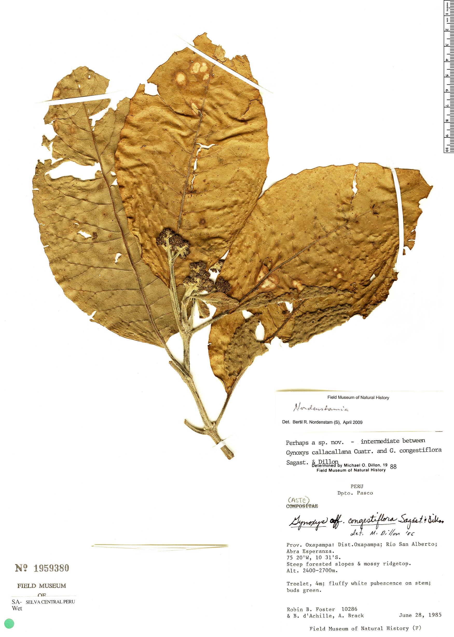 Espécimen: Nordenstamia