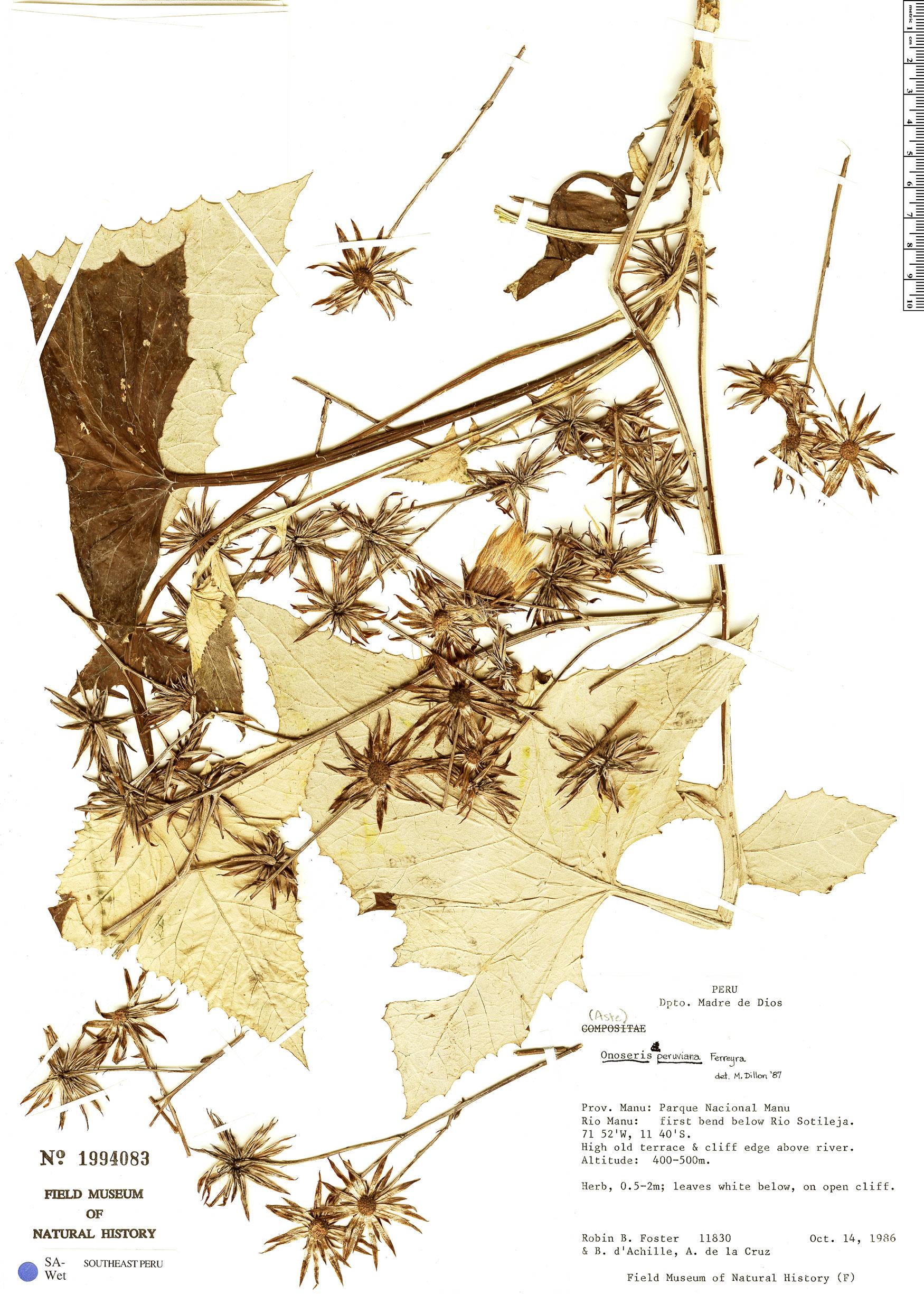 Specimen: Onoseris peruviana