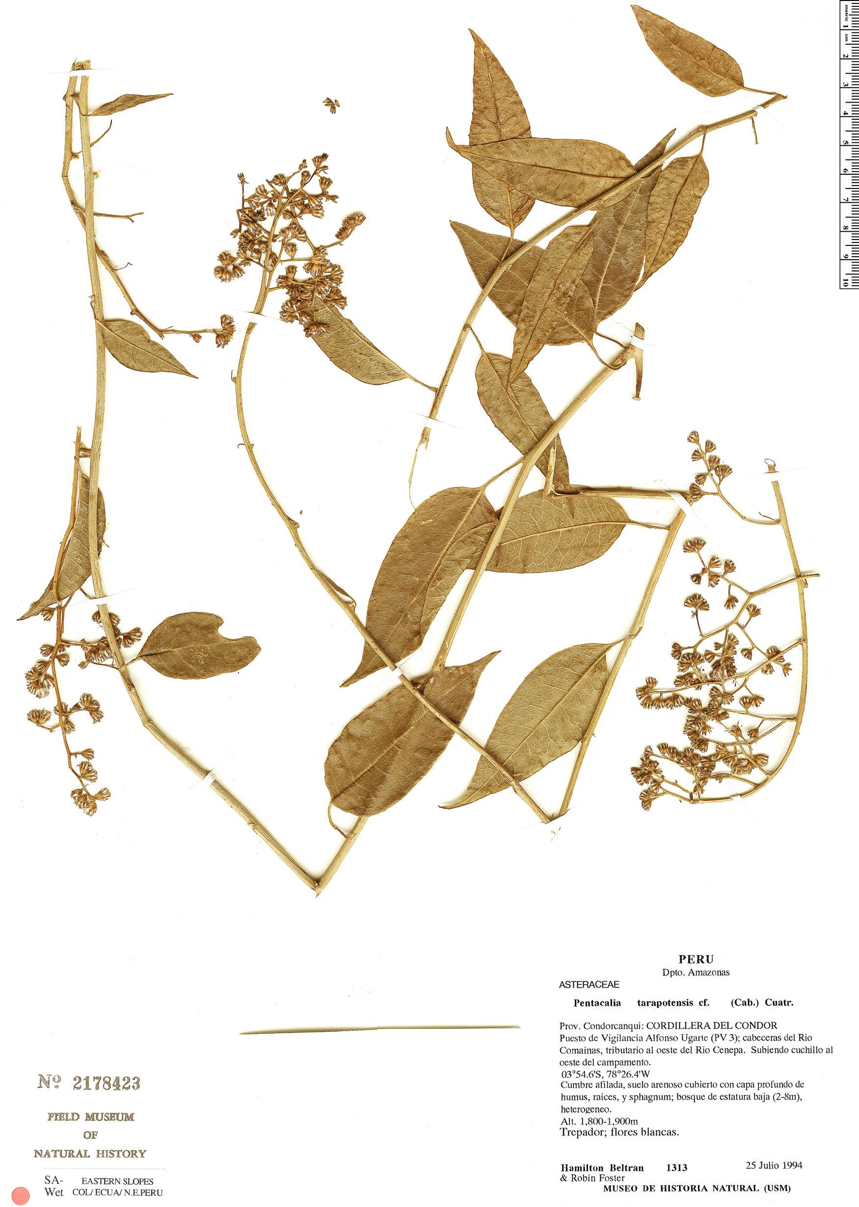 Specimen: Pentacalia tarapotensis