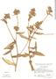 Picris echioides image
