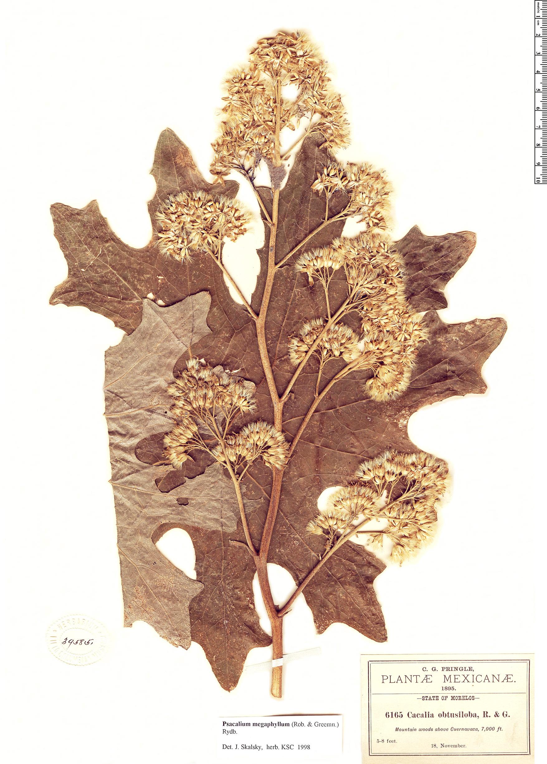 Specimen: Psacalium megaphyllum