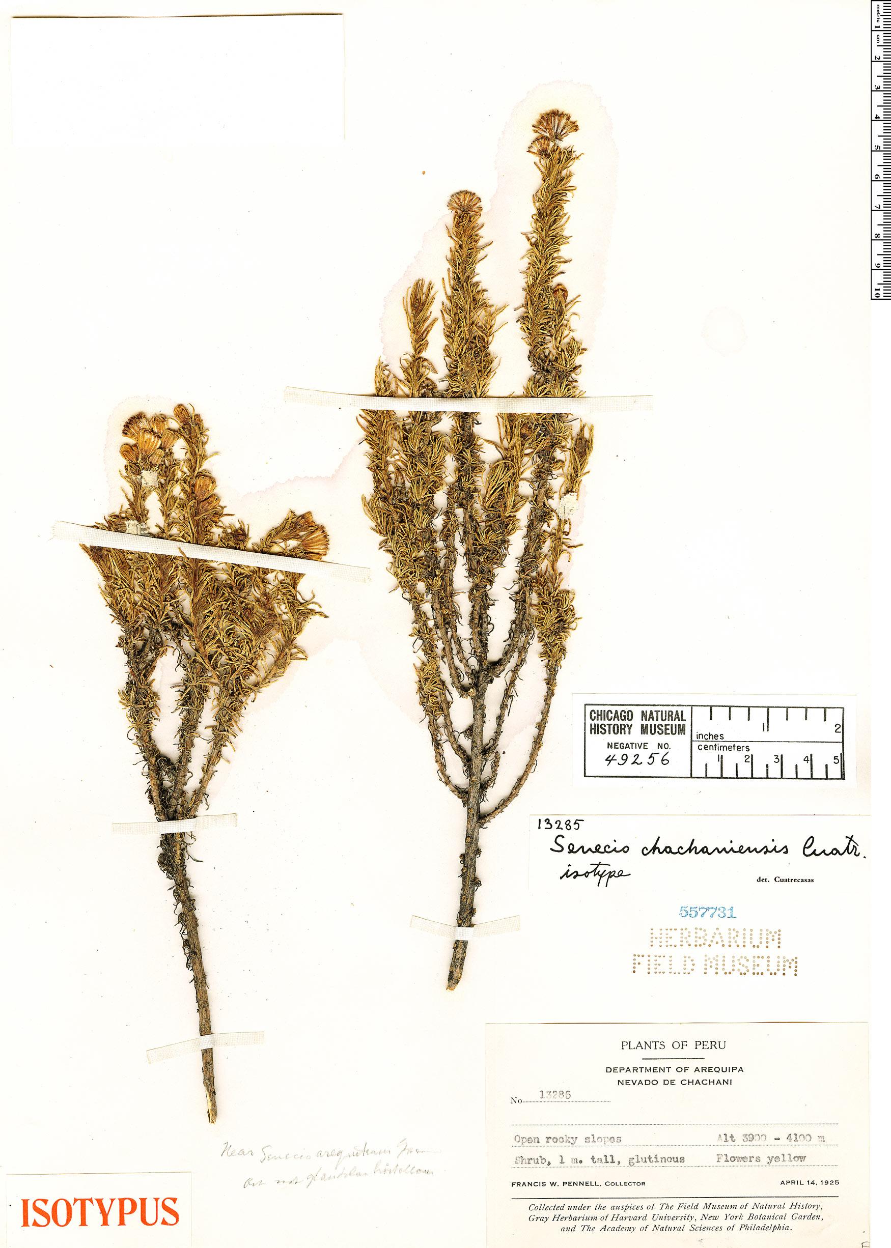 Specimen: Senecio chachaniensis