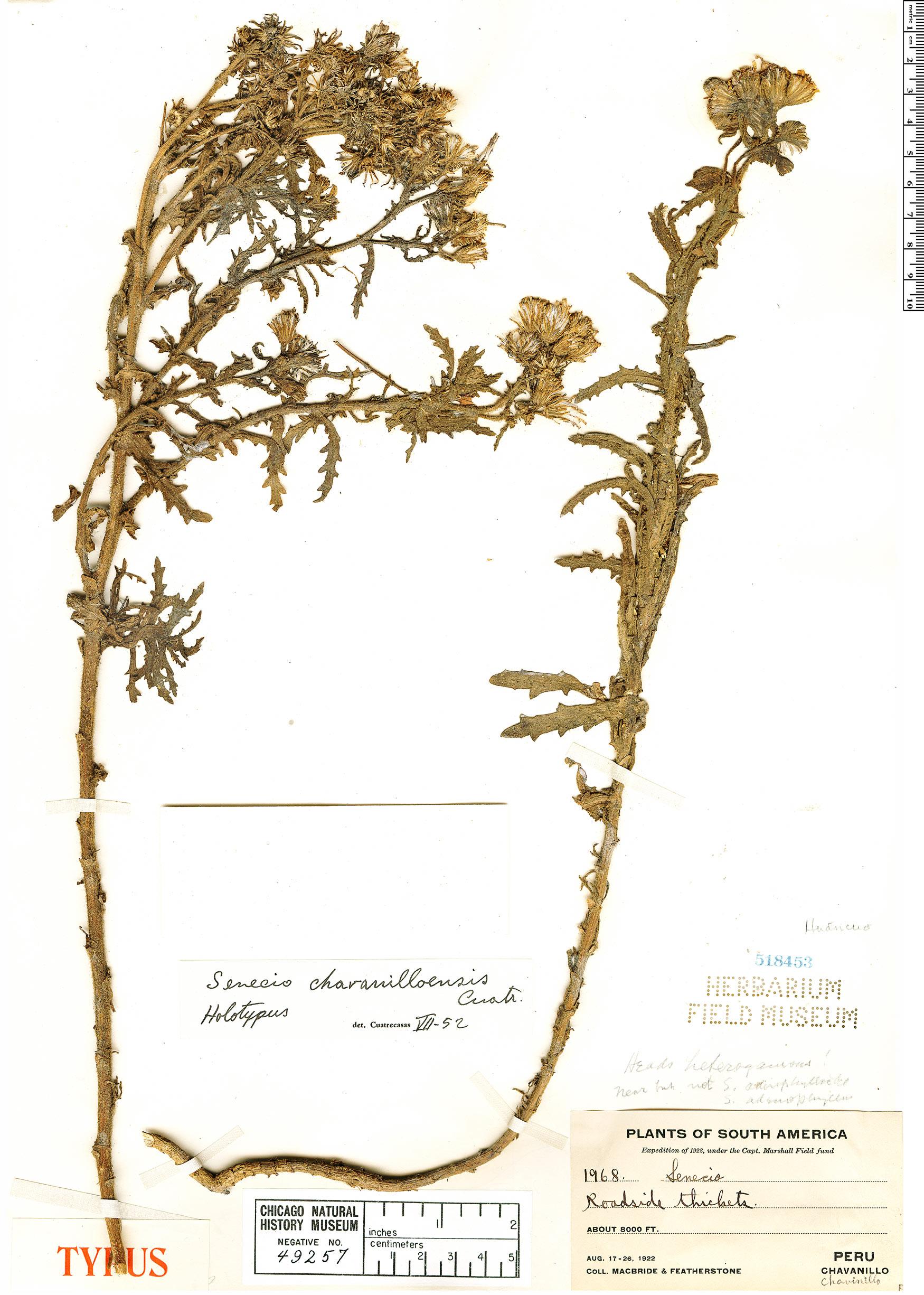 Specimen: Senecio chavanilloensis