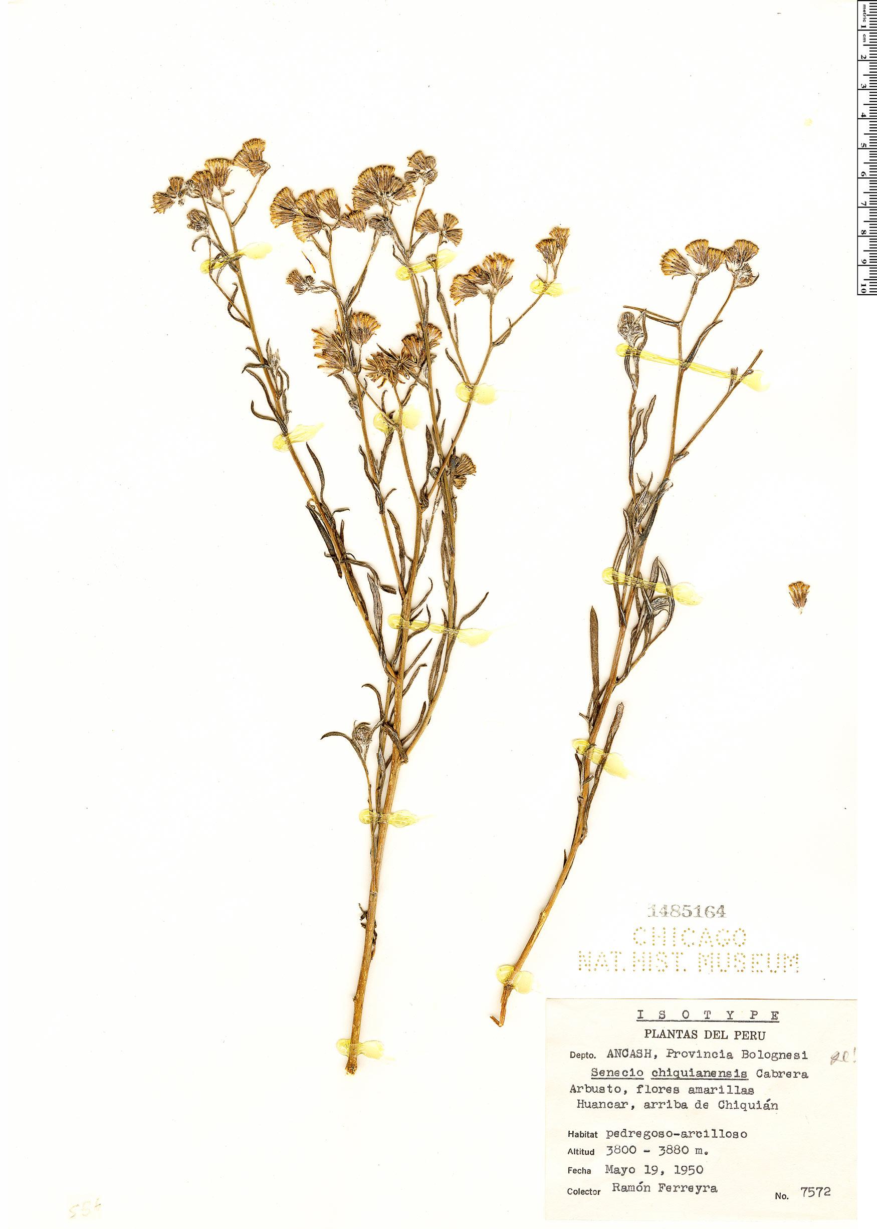 Specimen: Senecio chiquianensis